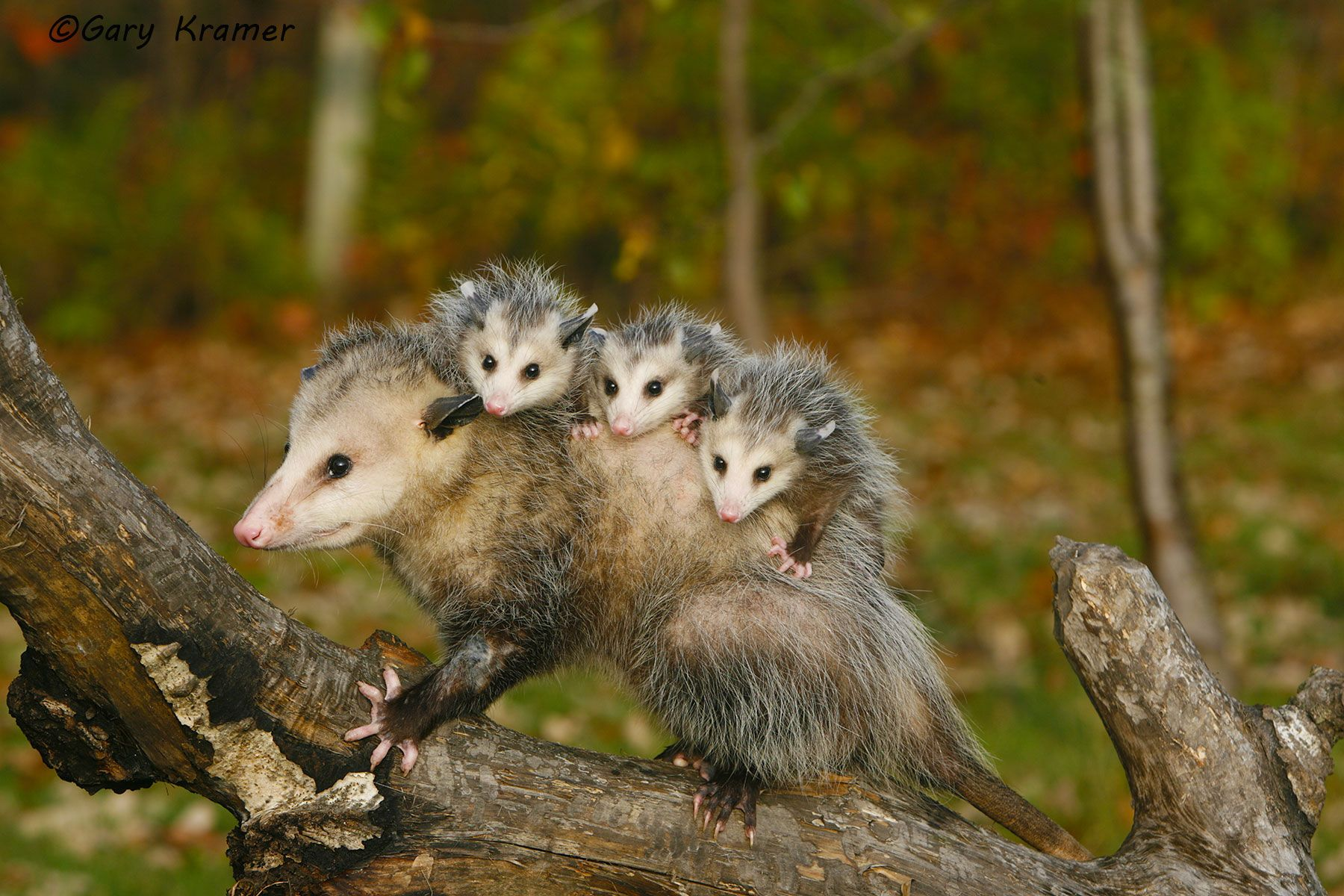 Opossum (Didelphis marsupialis) - NMO#156d