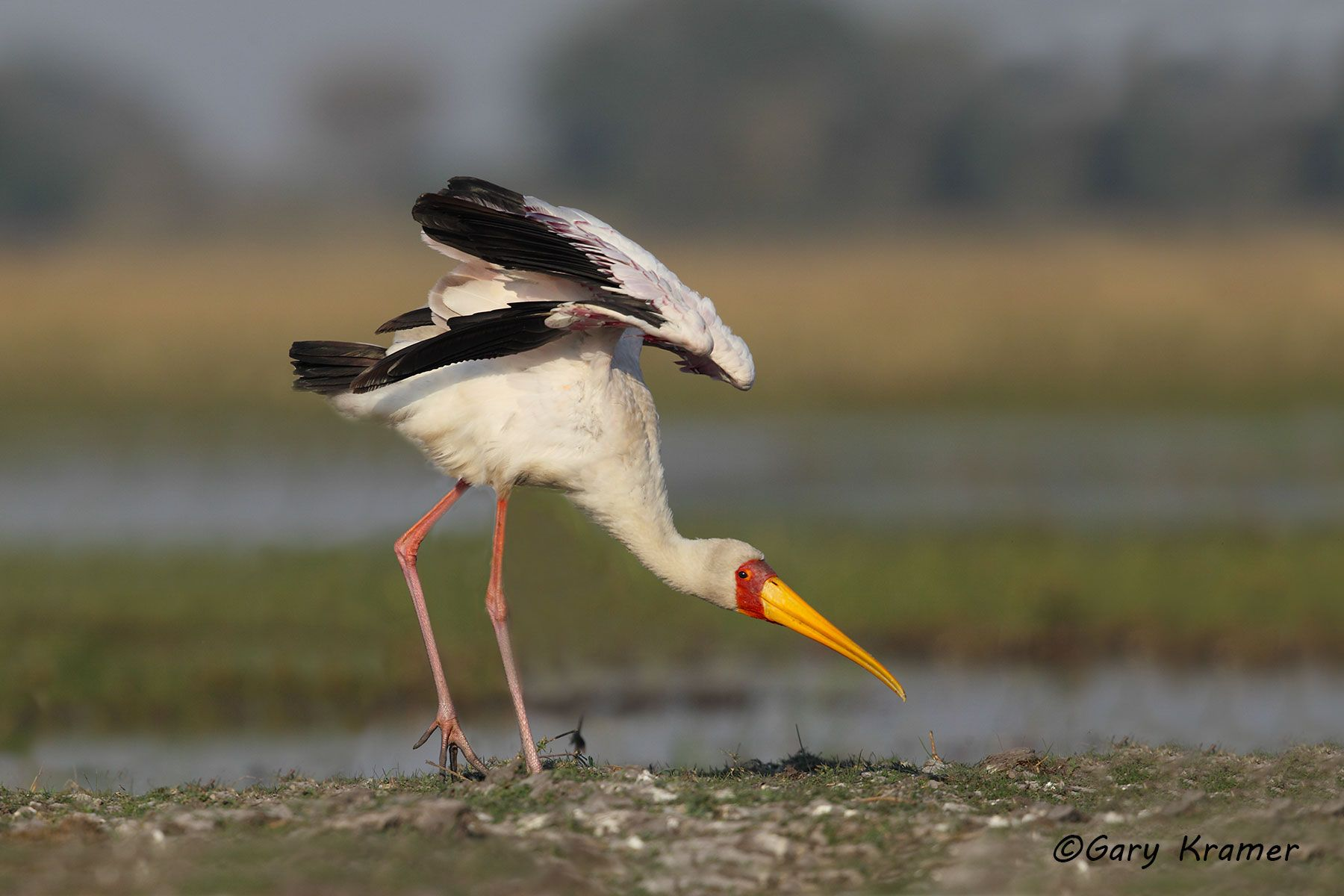 Yellow-billed Stork (Myceteria ibis) - ABTy#023d
