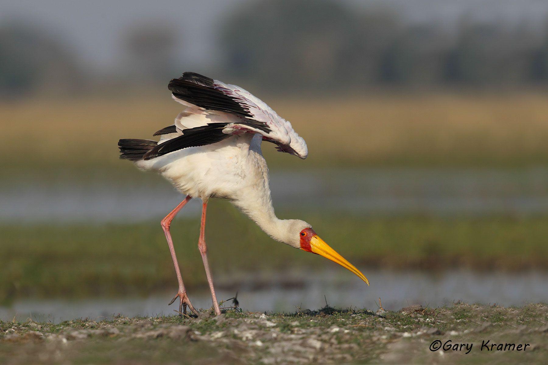 Yellow-billed Stork (Myceteria ibis) - ABTy#023d