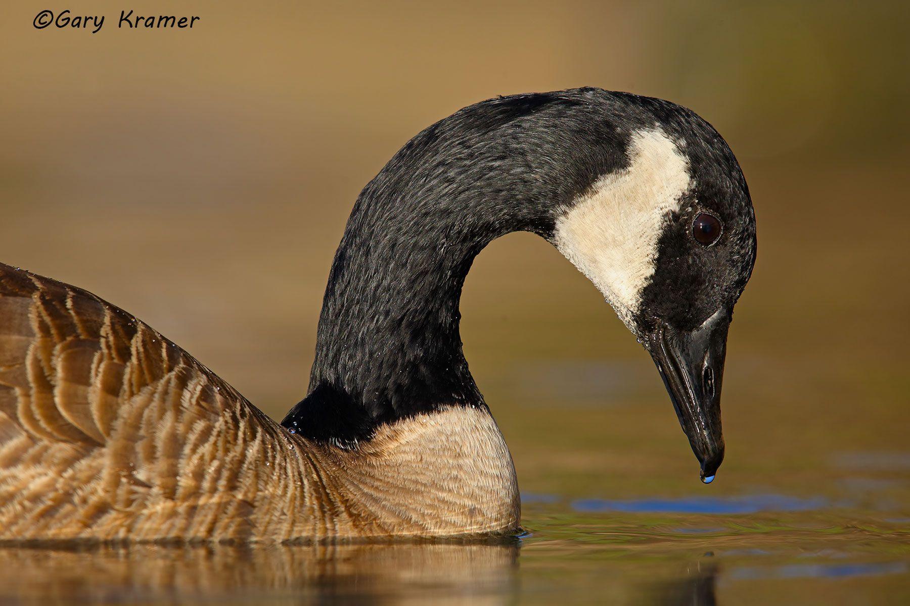 Canada Goose (Branta canadensis) - NBWCg#905d