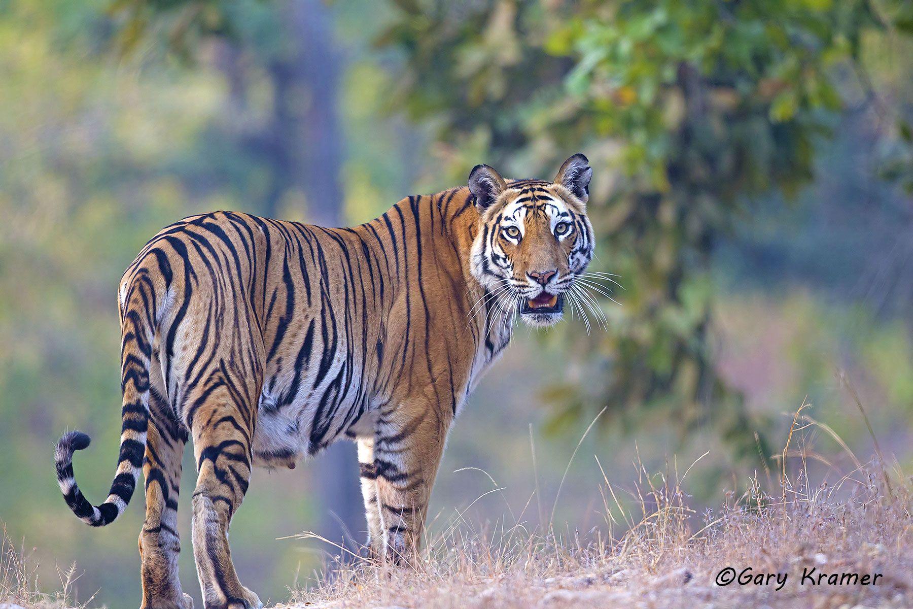 Tiger (Bengal) (Panthera tigrus tigrus) - AMTb#058d