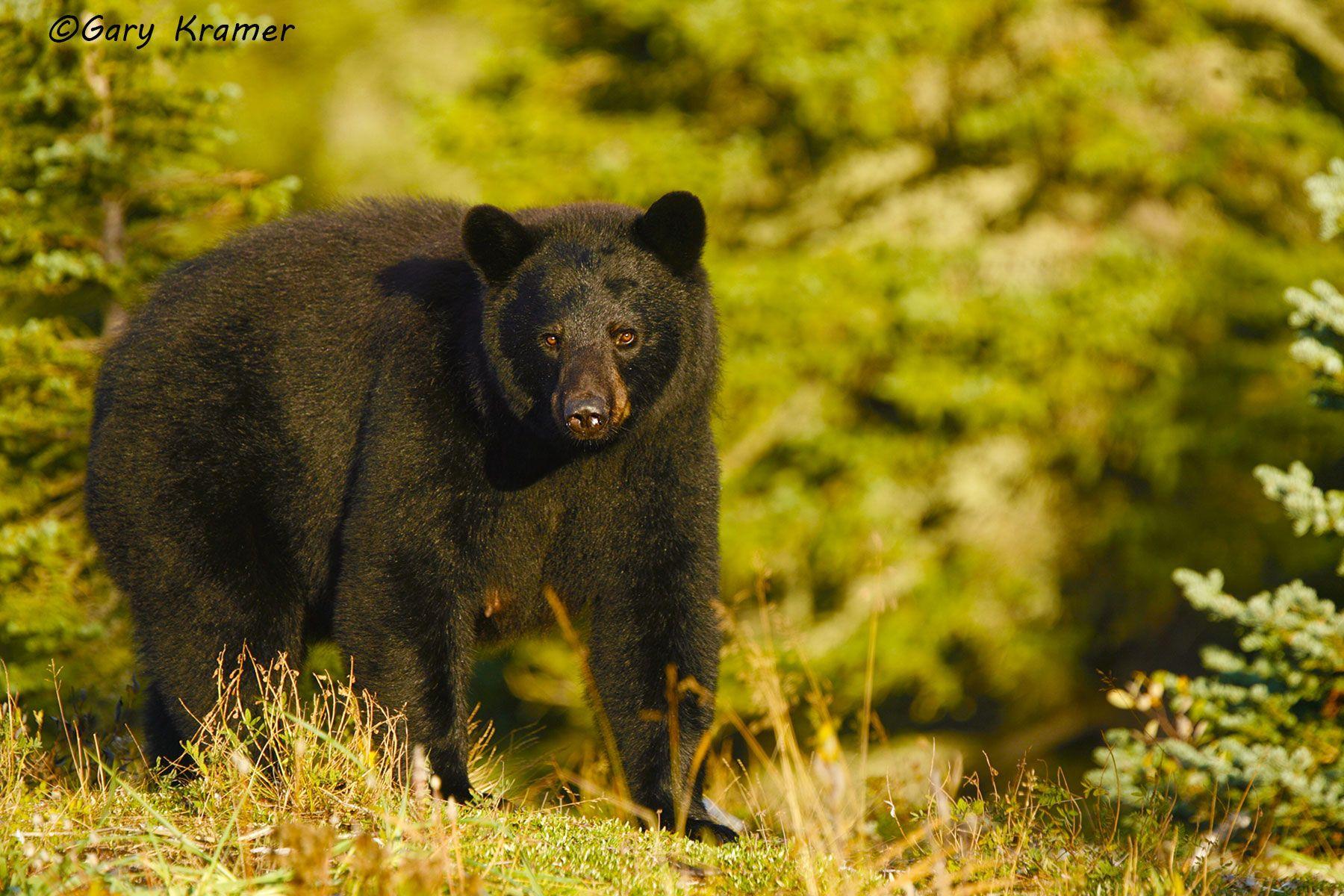 Black Bear (Urusus americanus) - NMBb#343d