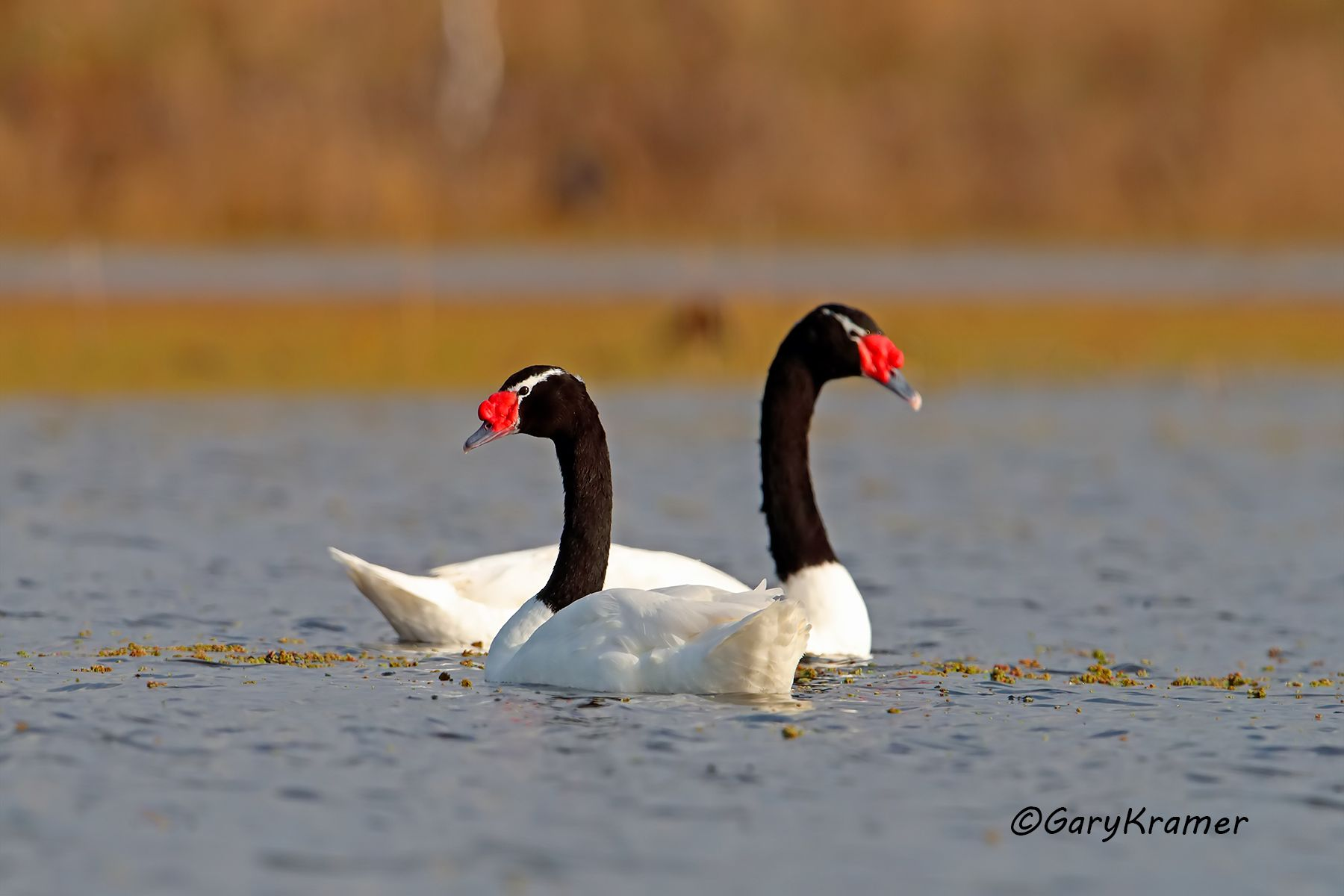 Black-necked Swan (Cygnus melanocoryphus) Argentina - SBWSb#079d