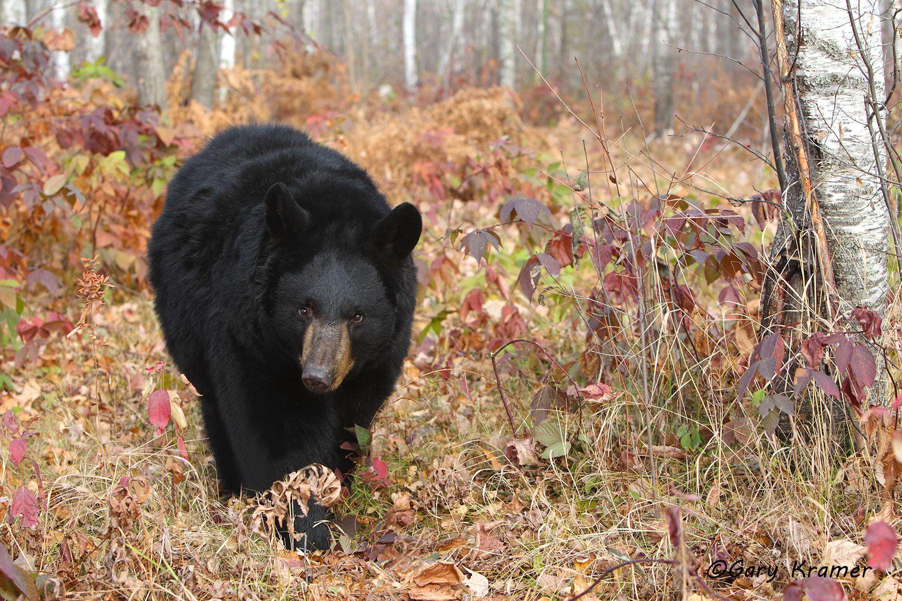 Black Bear (Urusus americanus) - NMBb#813d