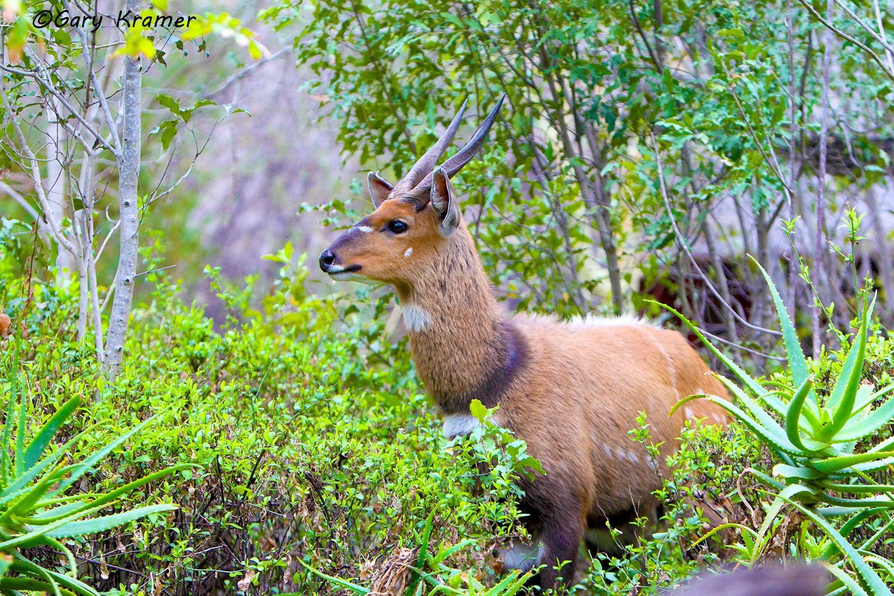 Common Bushbuck (Tragelaphus scriptus)  - AMUU#057d
