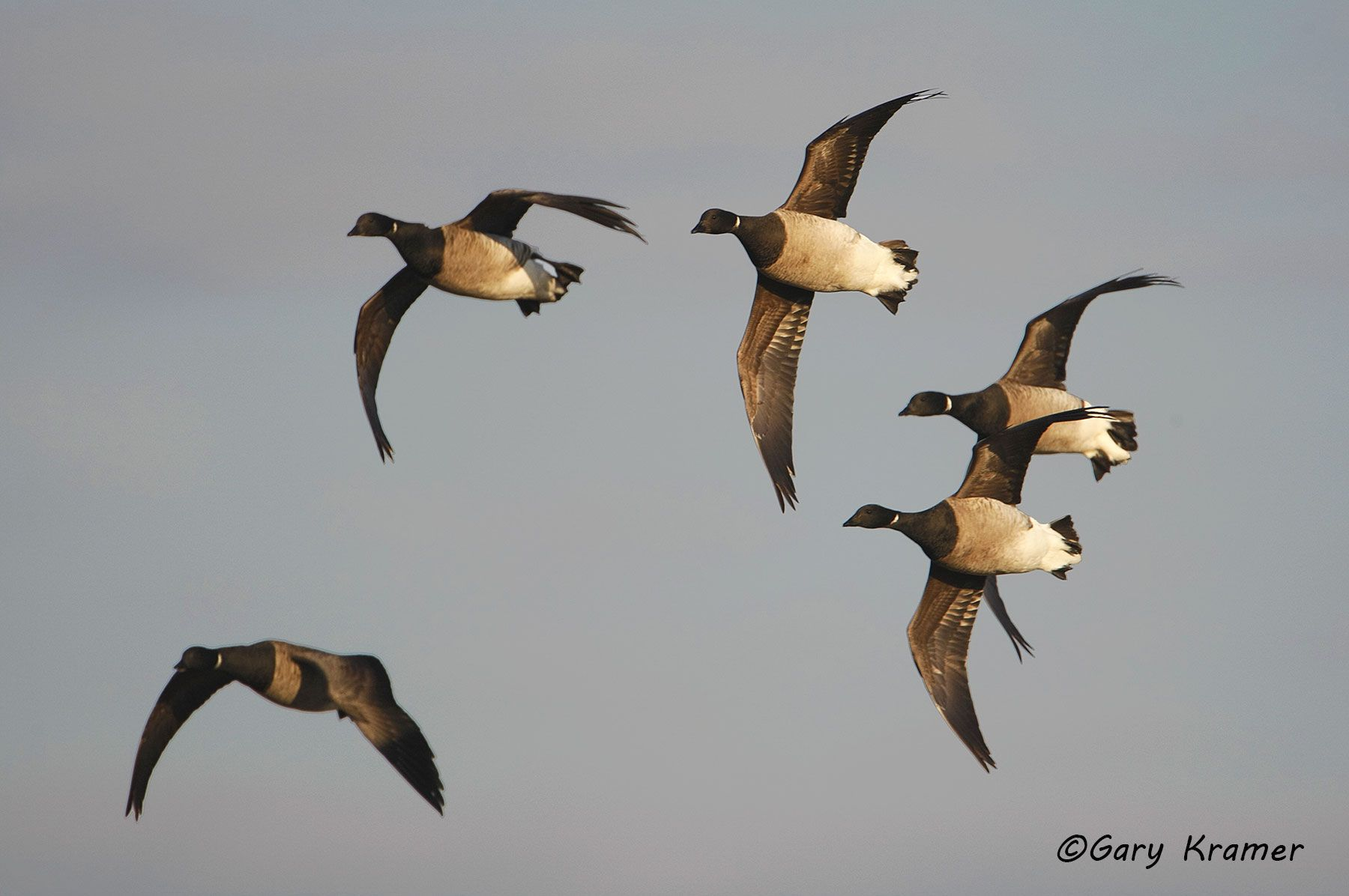 Pale-bellied (Atlantic) Brant (Branta bernicla hrota) - NBWBa#181d