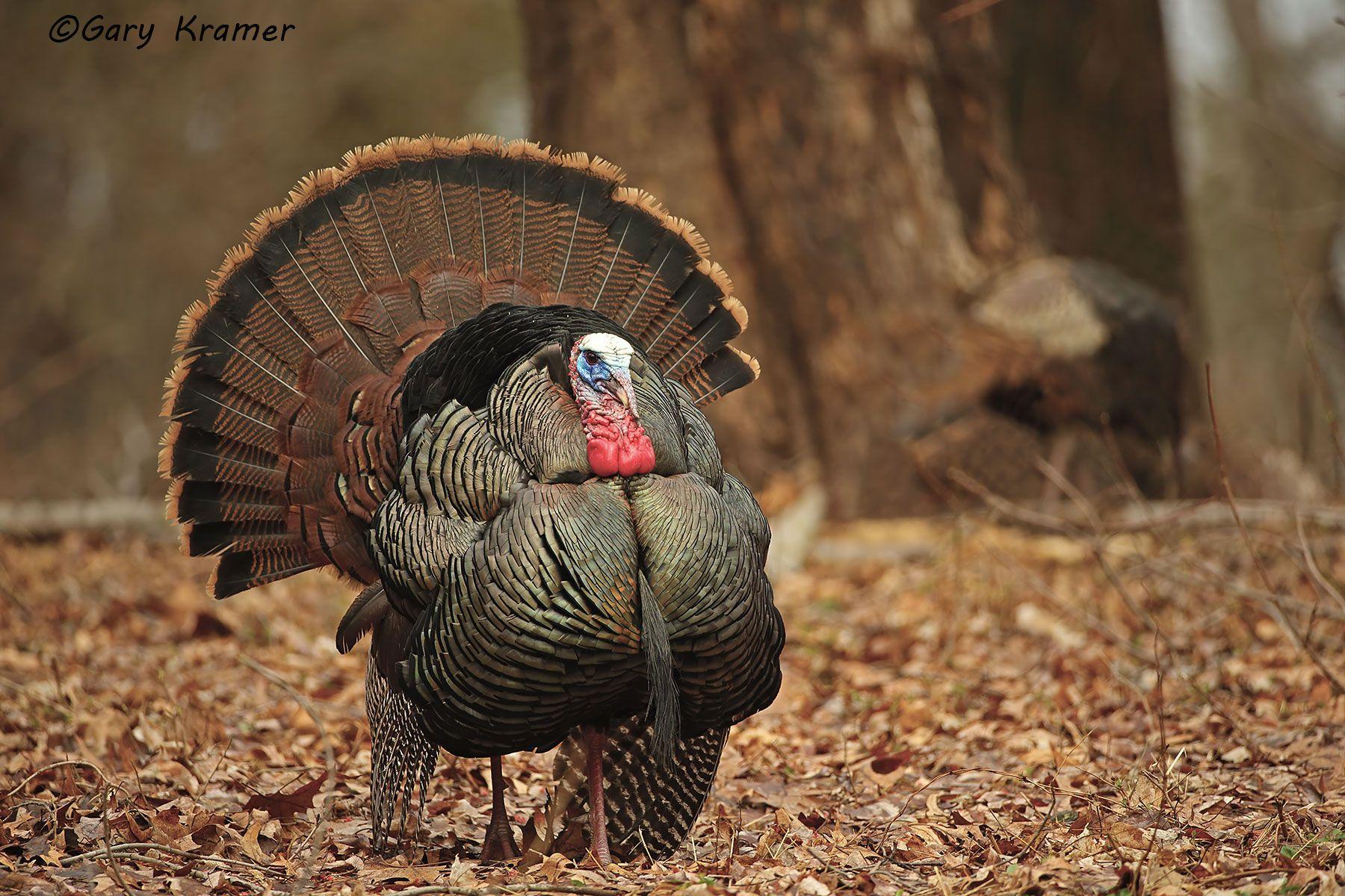 Wild Turkey (Eastern) (Meleagris gallopavo silvestris) - NBGTe#710d