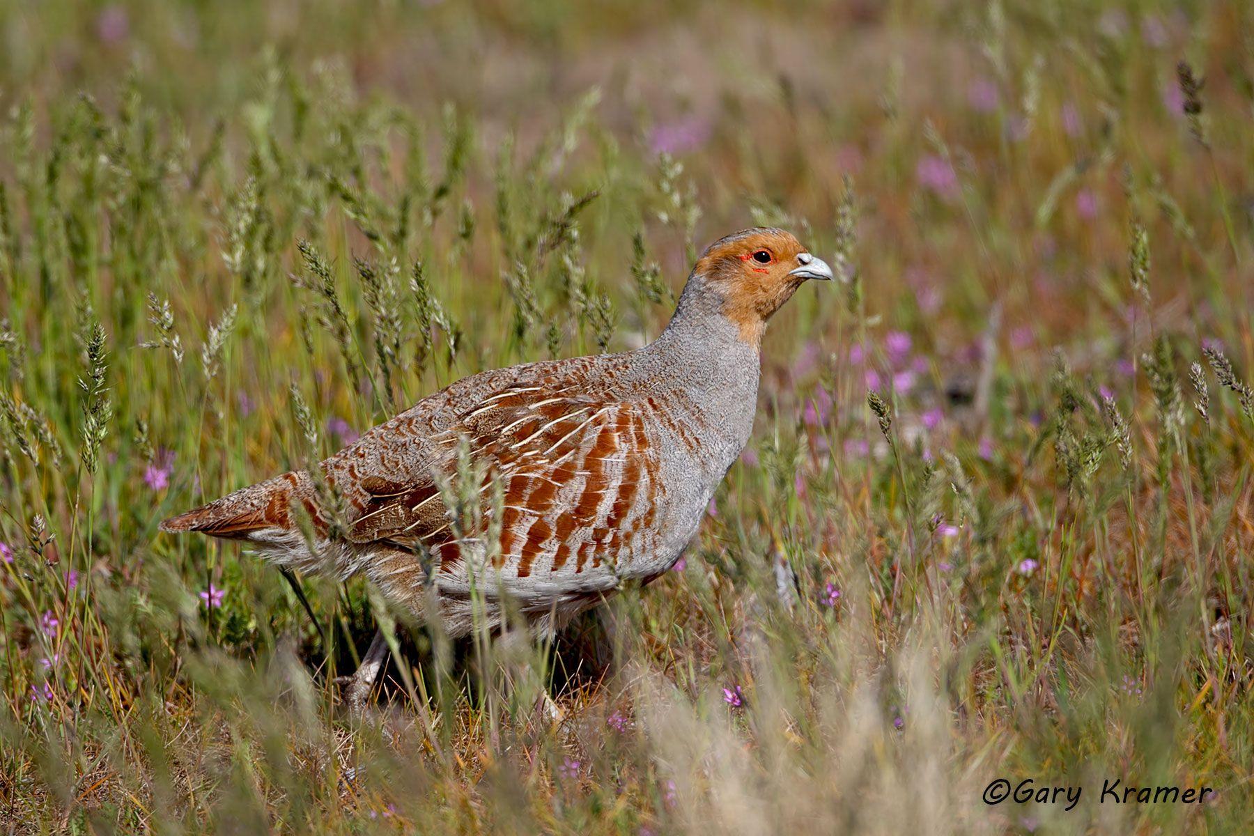 Gray (Hungarian) Partridge (Perdix perdix) - NBGGp#325d