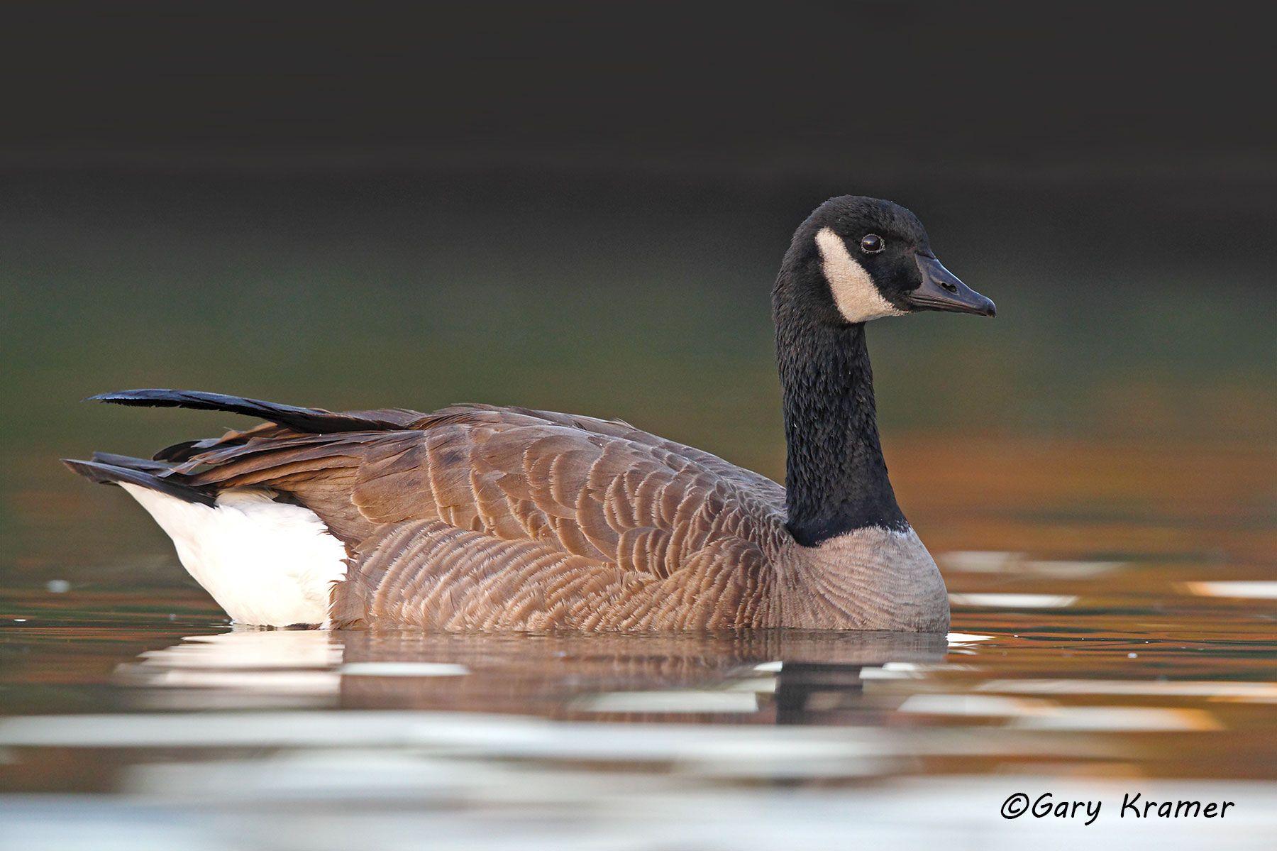 Canada Goose (Branta canadensis) - NBWCg#825d