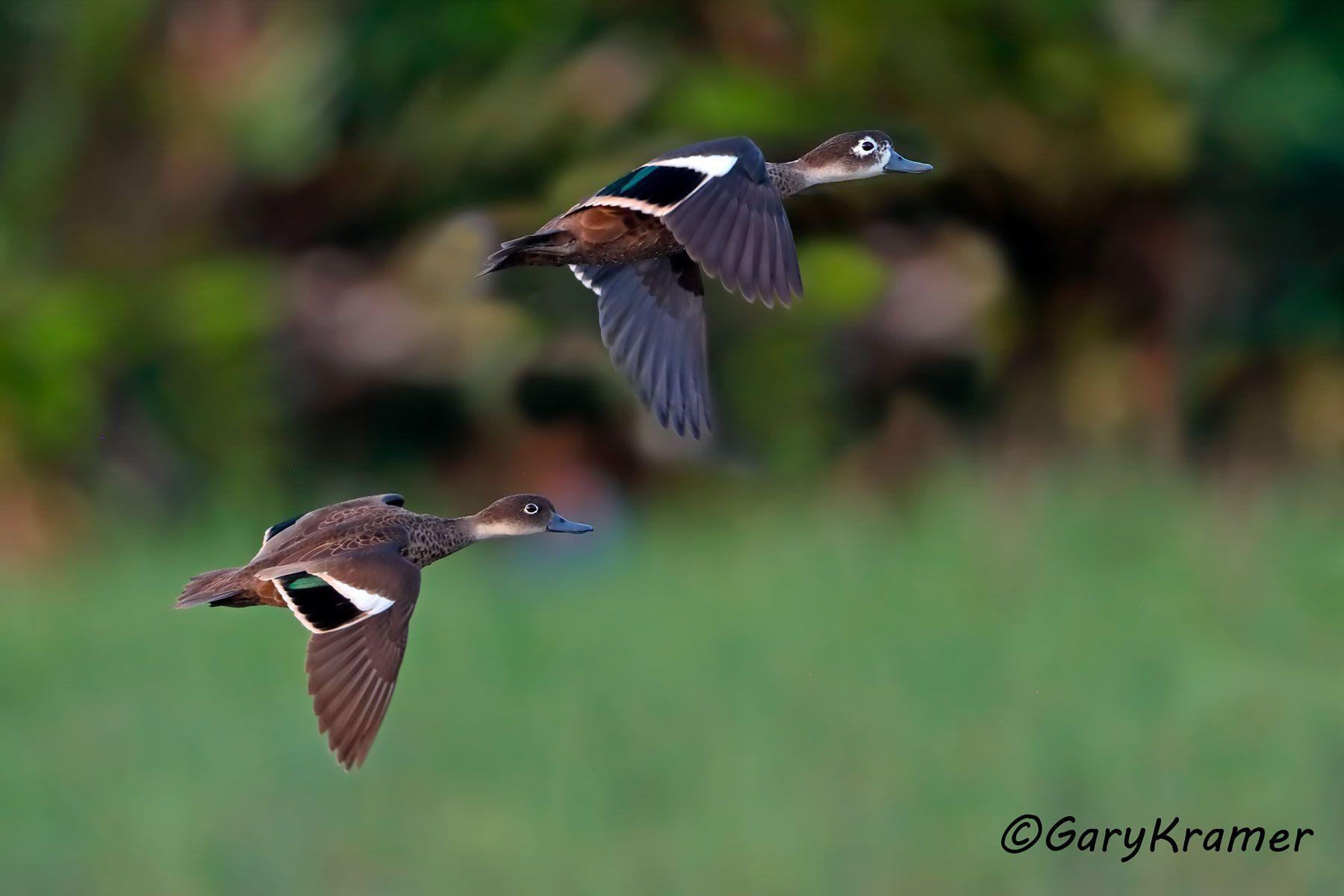 Andaman Teal (Anas albogularis) - IBWTaa#230d(2)