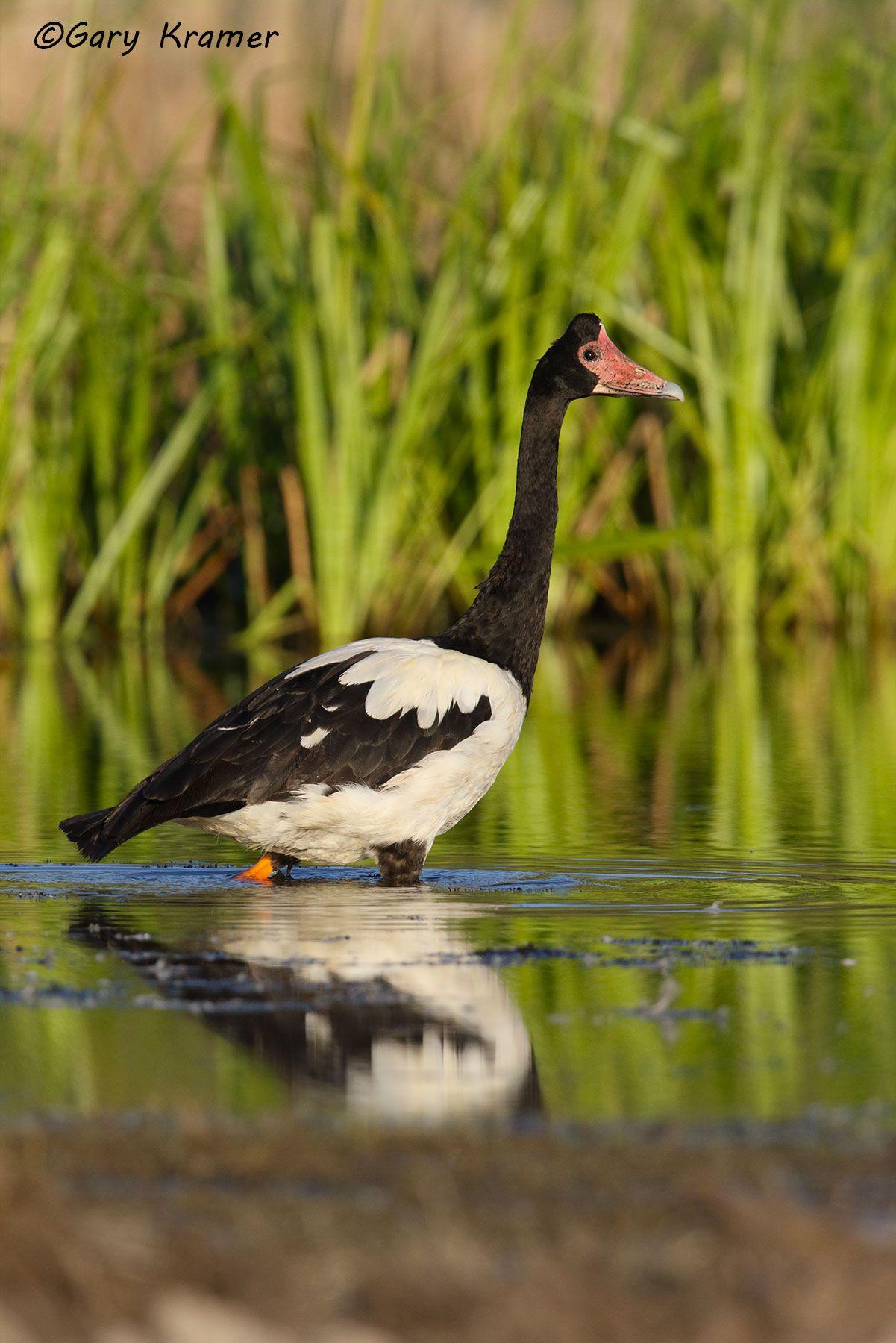 Magpie Goose (Anseranas semipalmata) Australia - OWBGm#045d