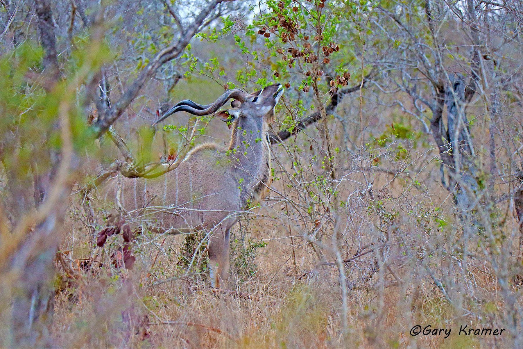 Greater Kudu (Tragelaphus strepsiceros) - AMUK#514d