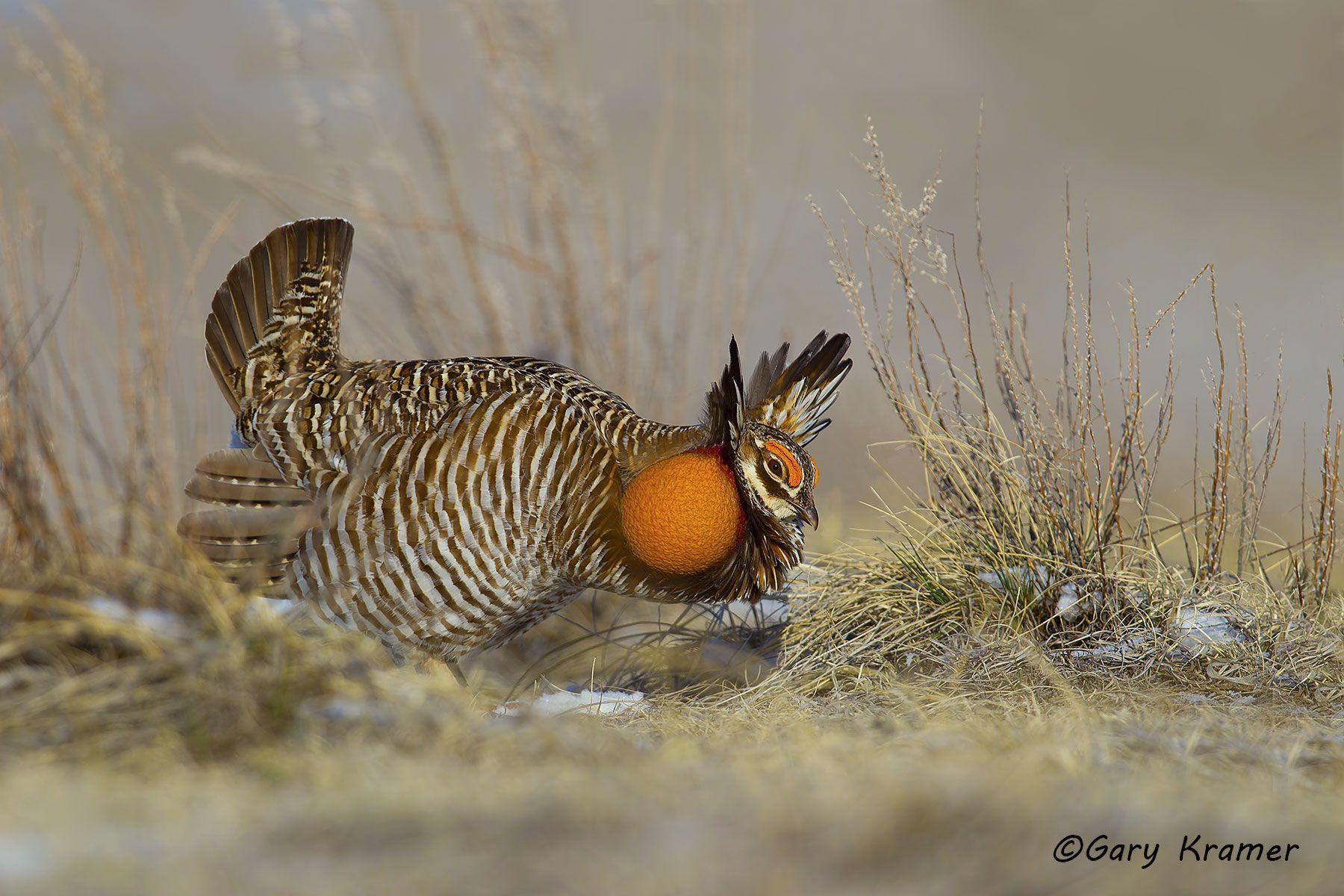 Greater Prairie Chicken (Tympanuchus cupido) - NBGCg#1154d