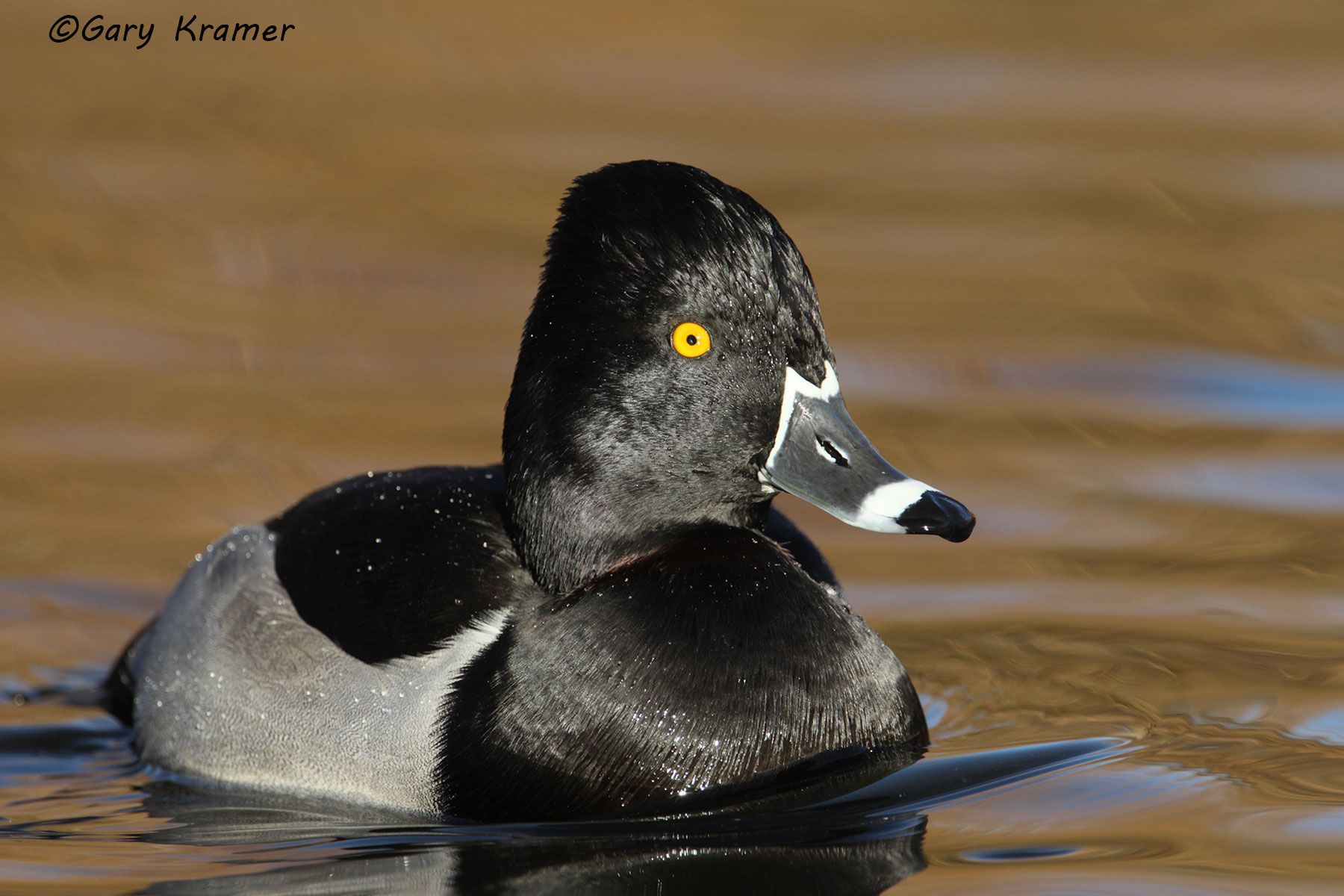 Ring-necked Duck (Aythya collaris) - NBWRn#260d