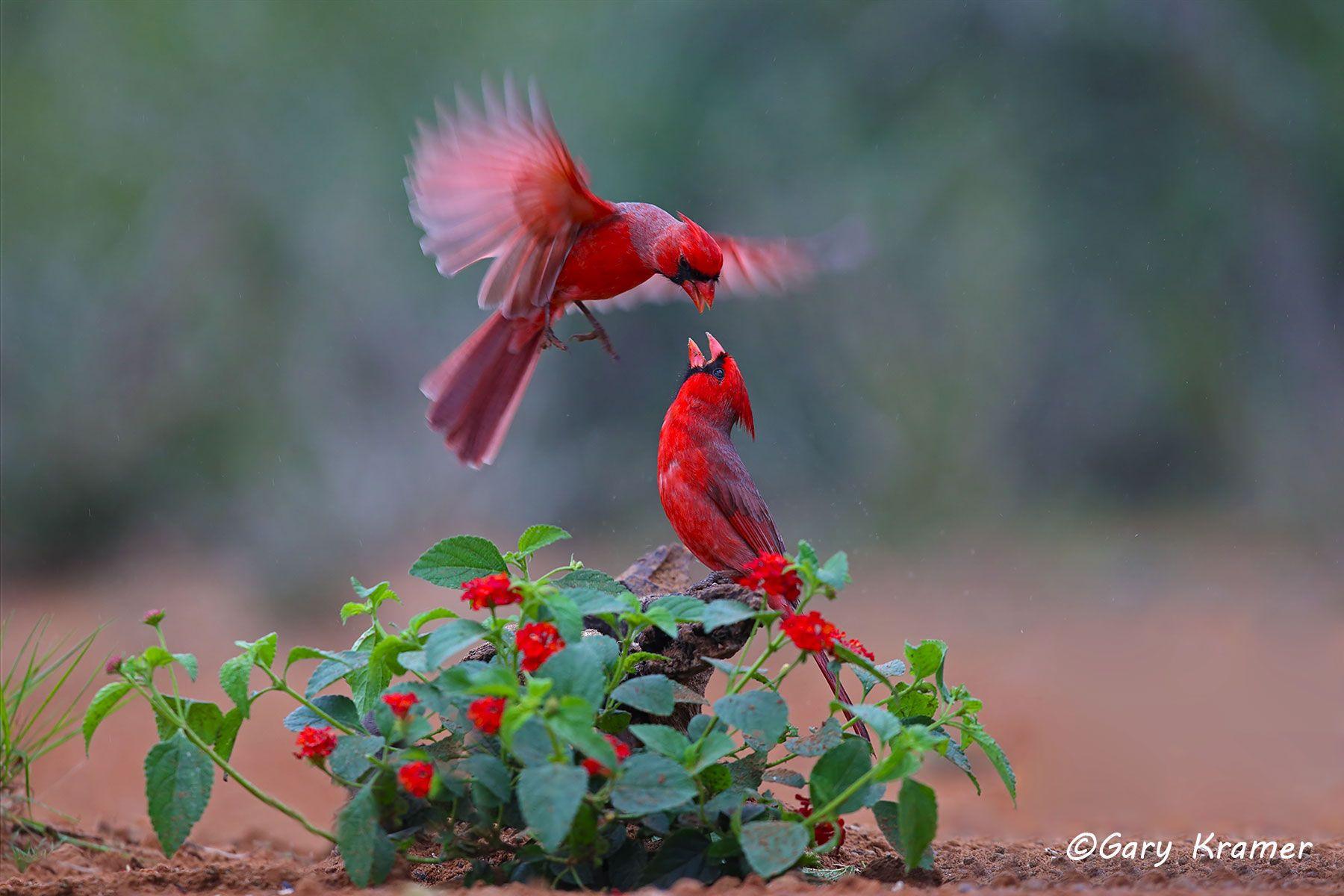 Northern Cardinal (Cardinalis cardinalis) - NBTC#378d