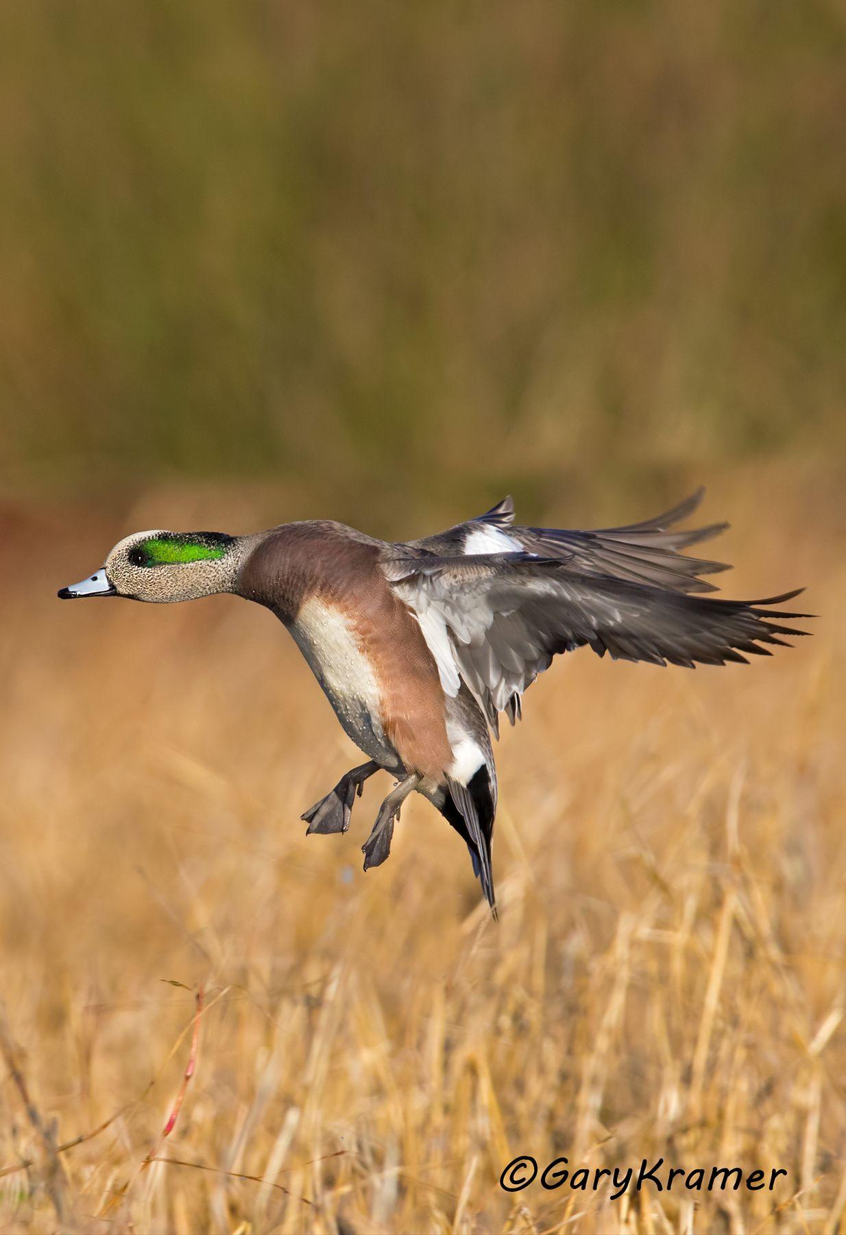 American Wigeon (Anas americana) - NBWW#1728d(2)