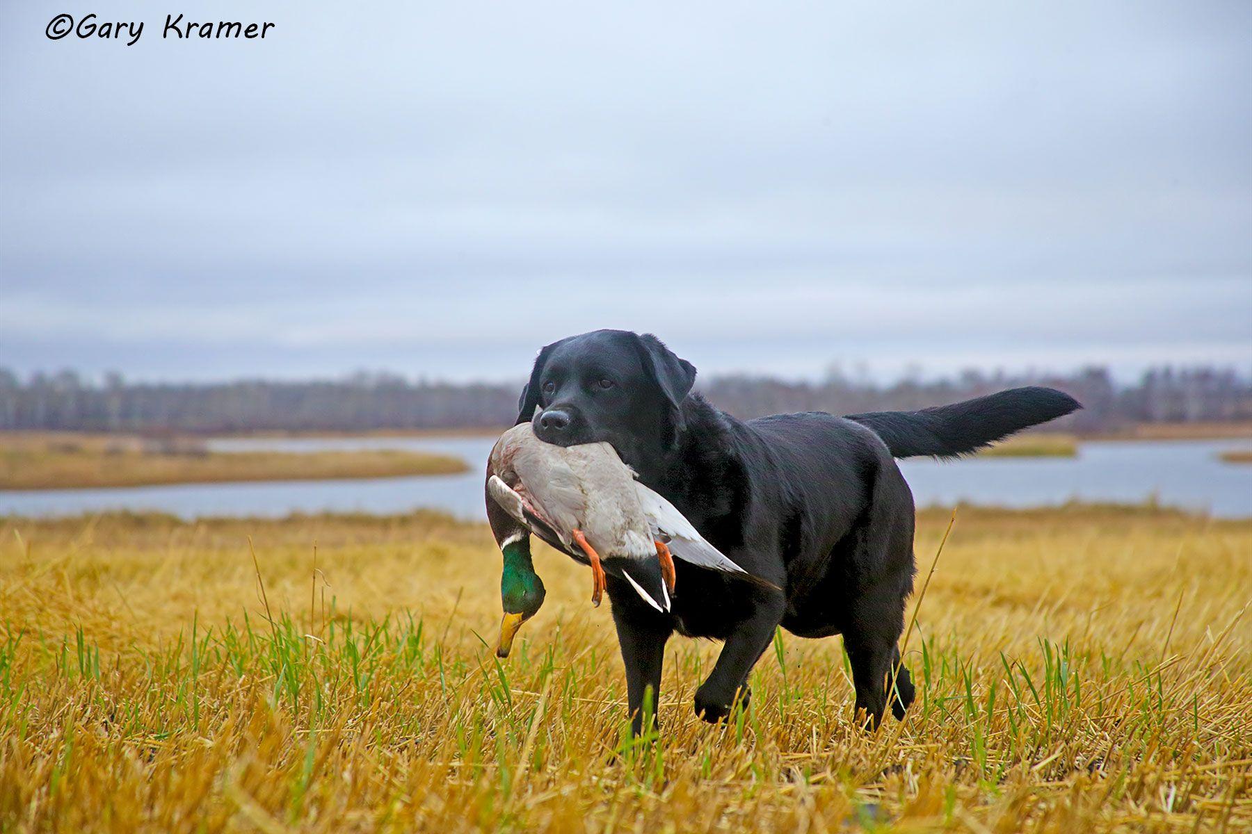 Black Labrador retrieving Mallard - HDLbmr#169d