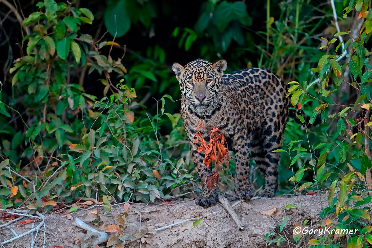 puma jaguar