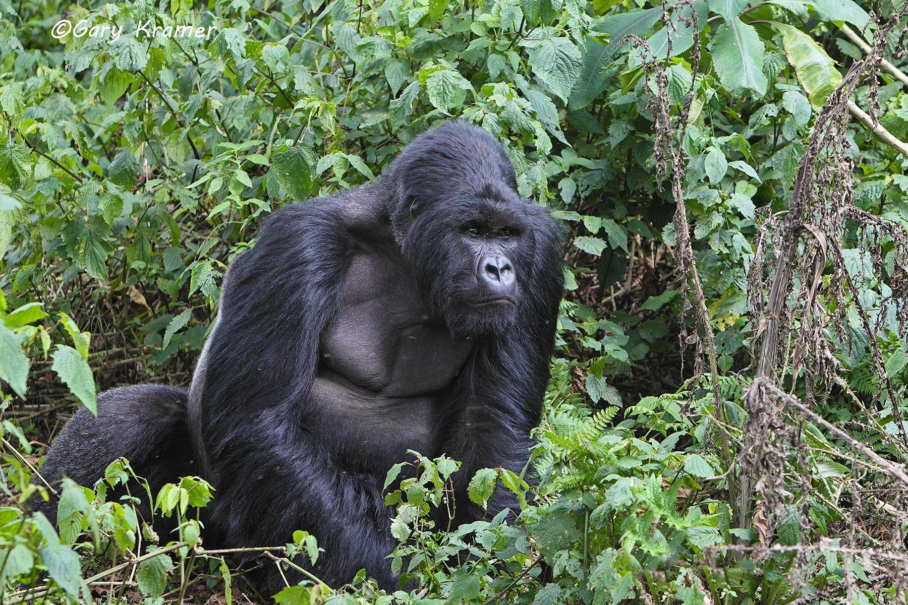 Mountain Gorilla (Gorilla gorilla beringei) - AMGg#249d