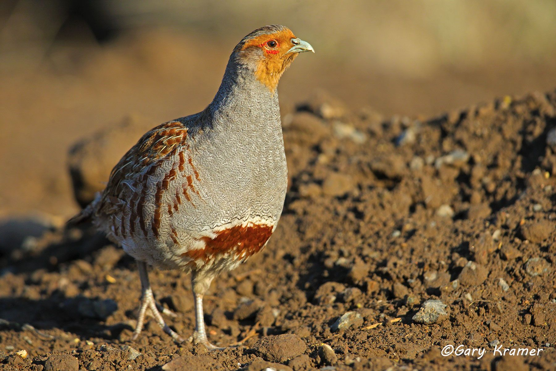 Gray (Hungarian) Partridge (Perdix perdix) - NBGGp#288d
