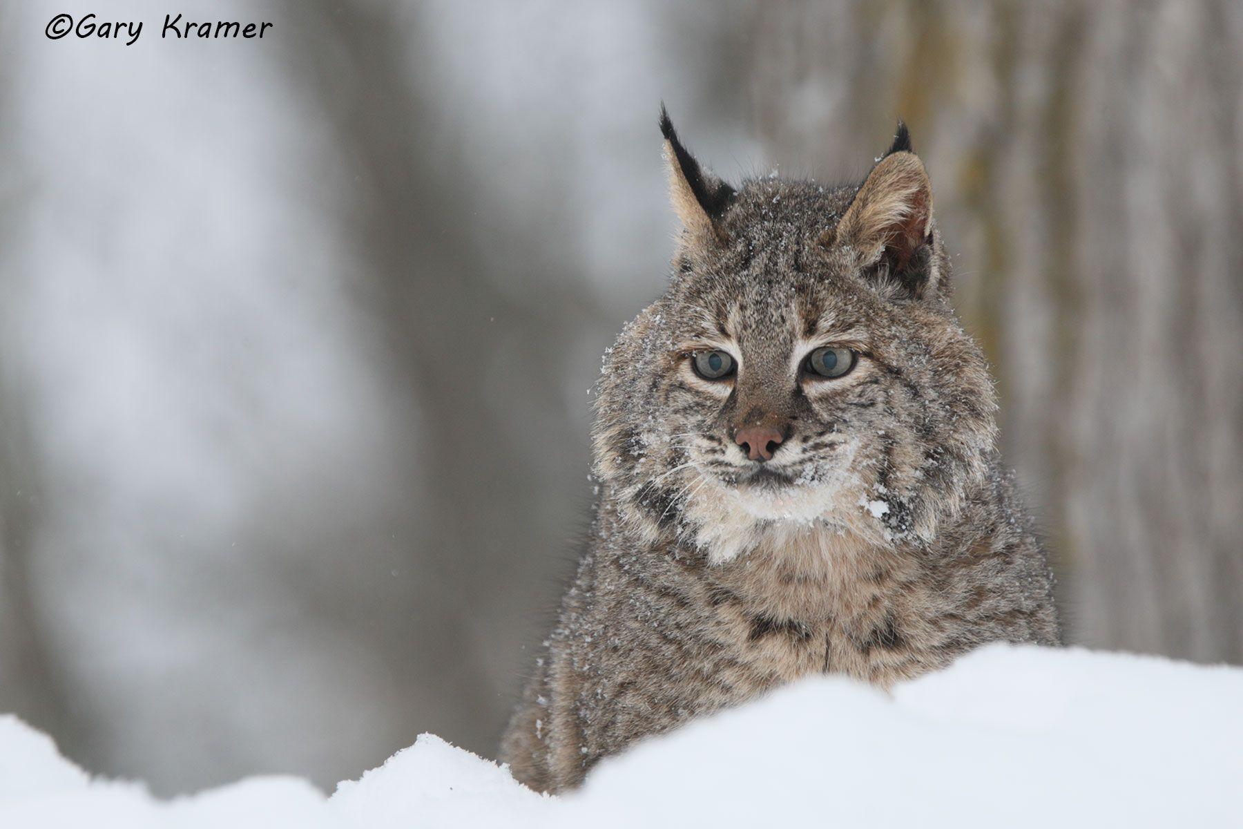 Bobcat (Lynx rufus) - #244d