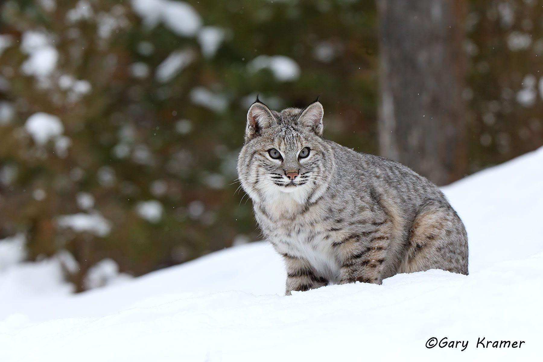 Bobcat (Lynx rufus) - NMCB#455d