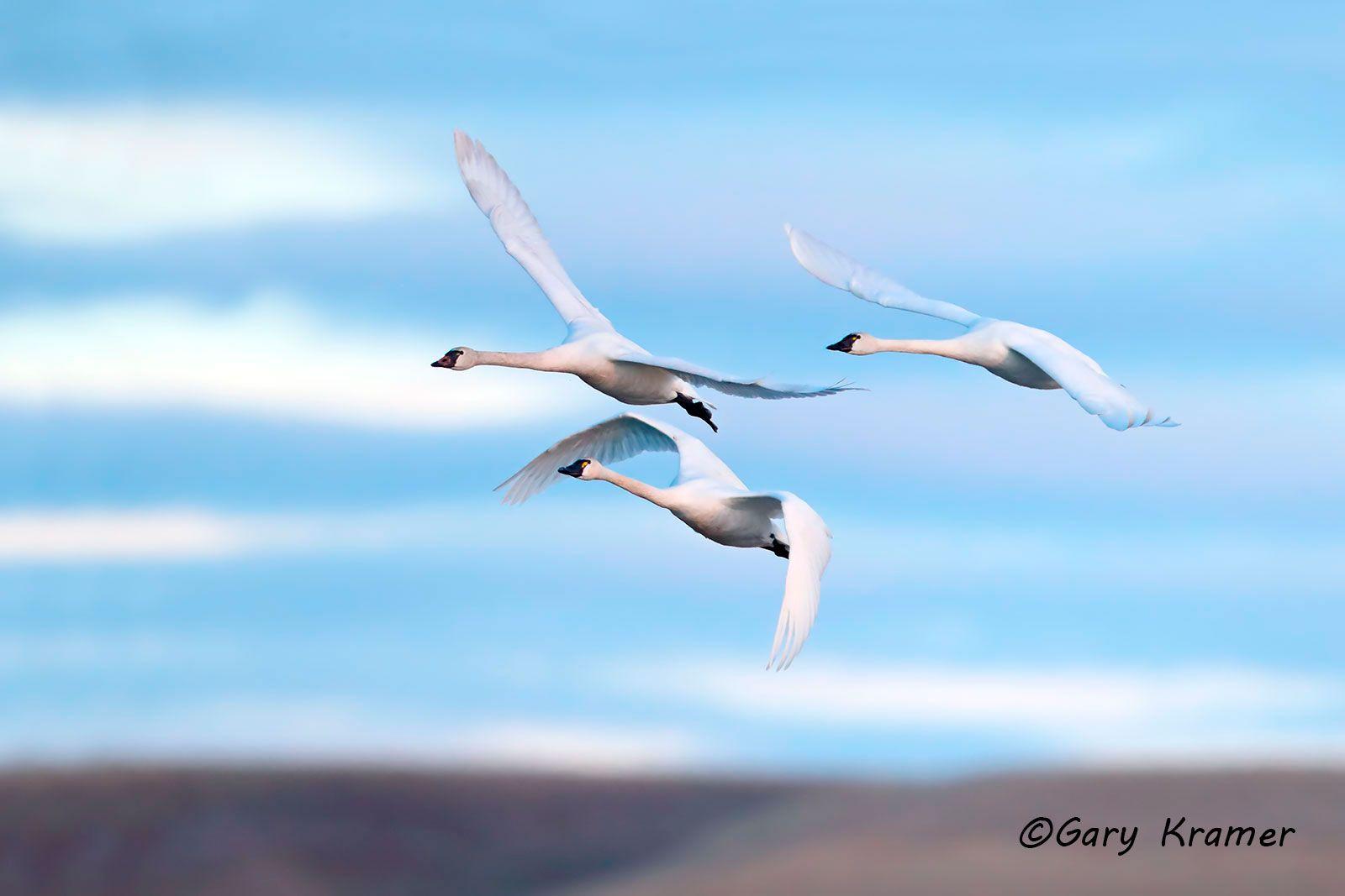 Tundra (Whistling) Swan (Cygnus columbianus) - NBWT#364d