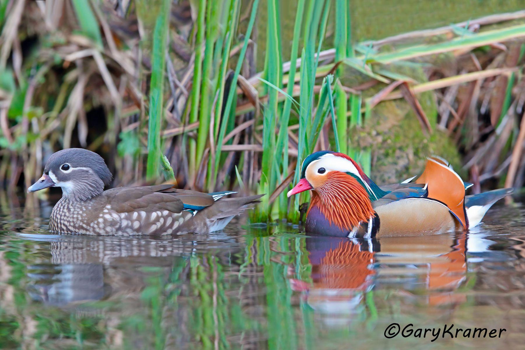 Mandarin Duck (Aix galericulata) - EBWM#079d(2)