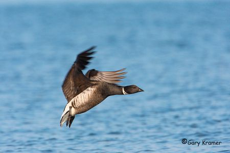 Brant -Emperor Goose - Nene