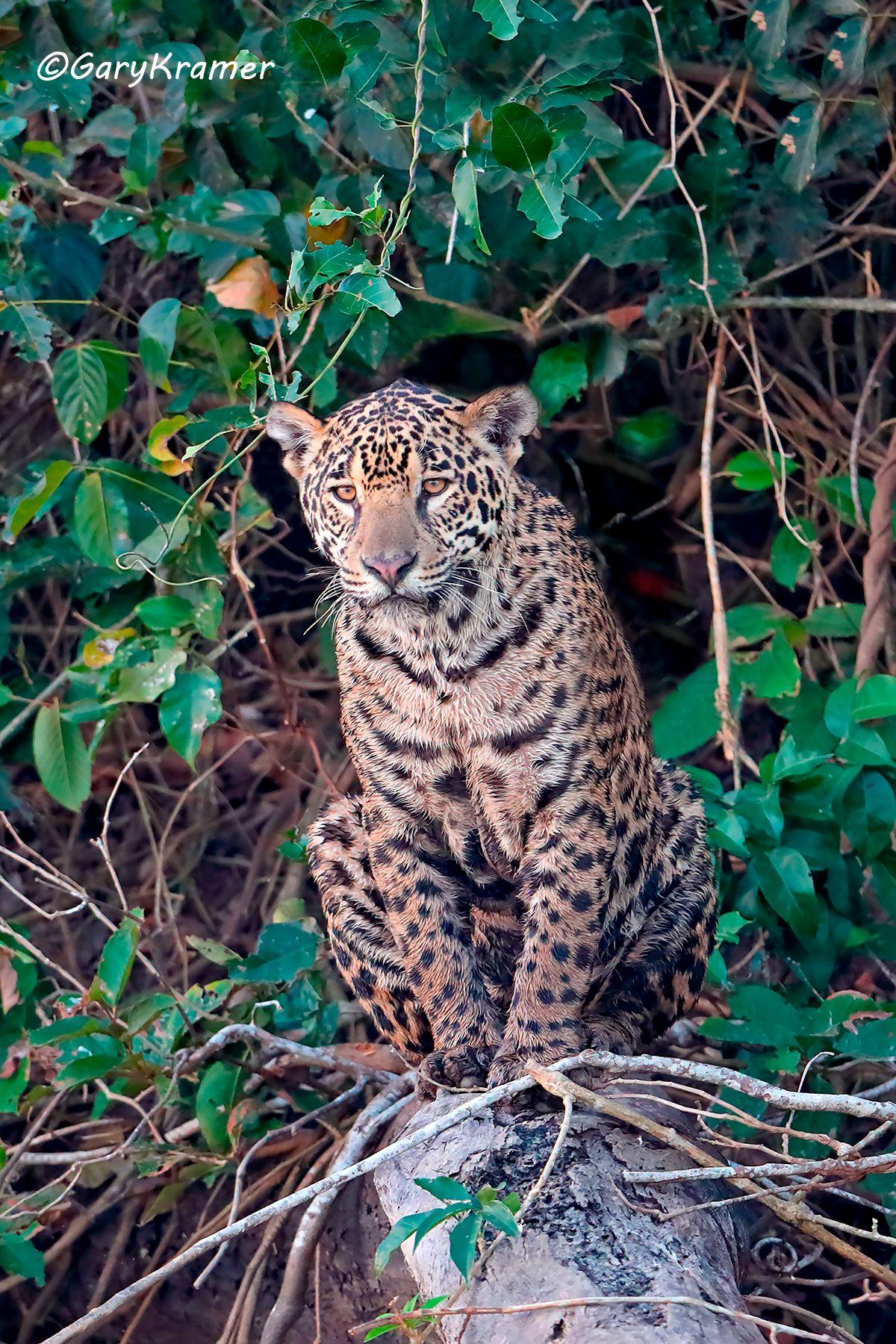 Jaguar (Puma onca) SMJp#030d(2).jpg