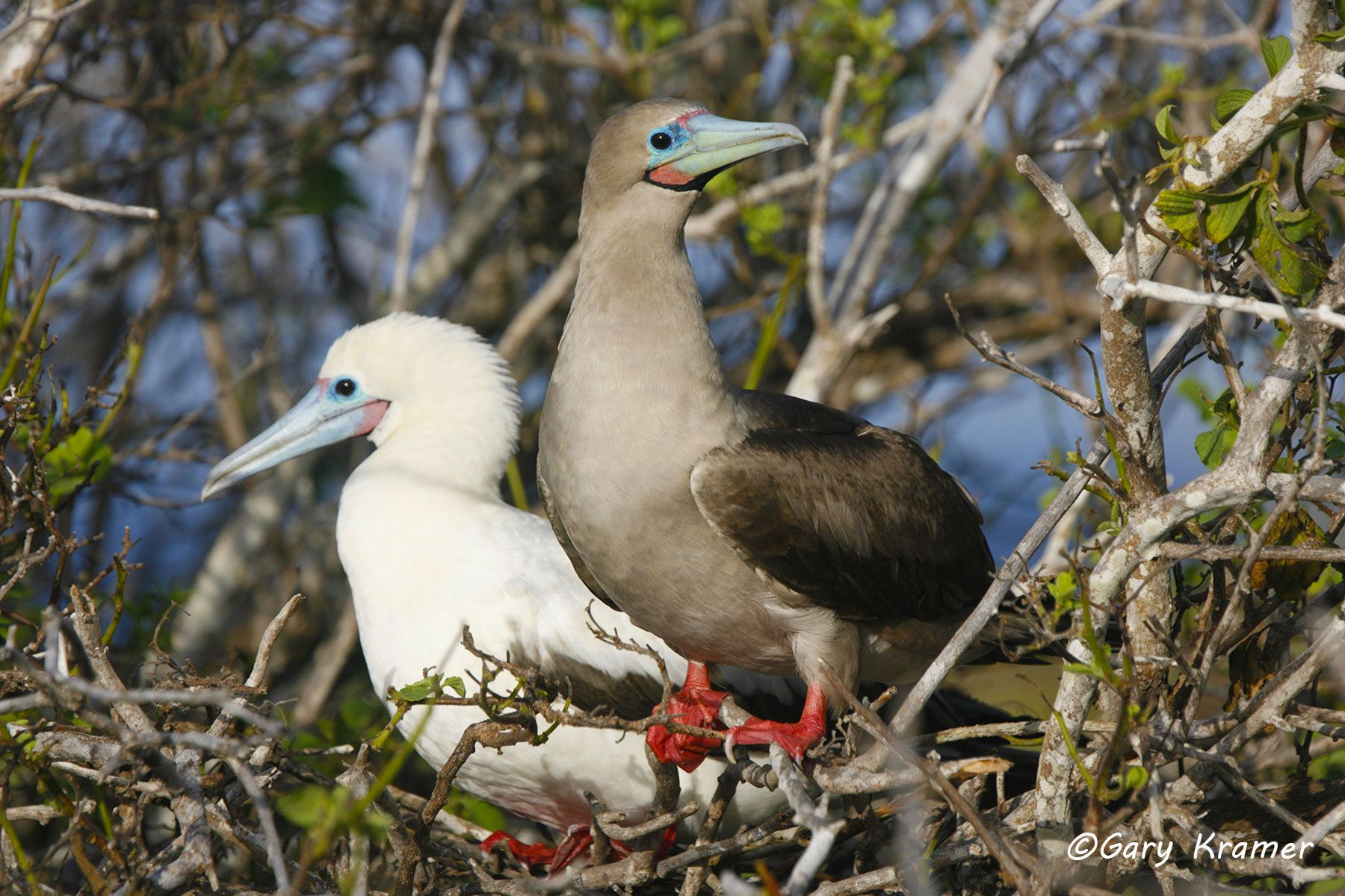 Red-footed Booby (Sula sula) - NBBR#084d.jpg