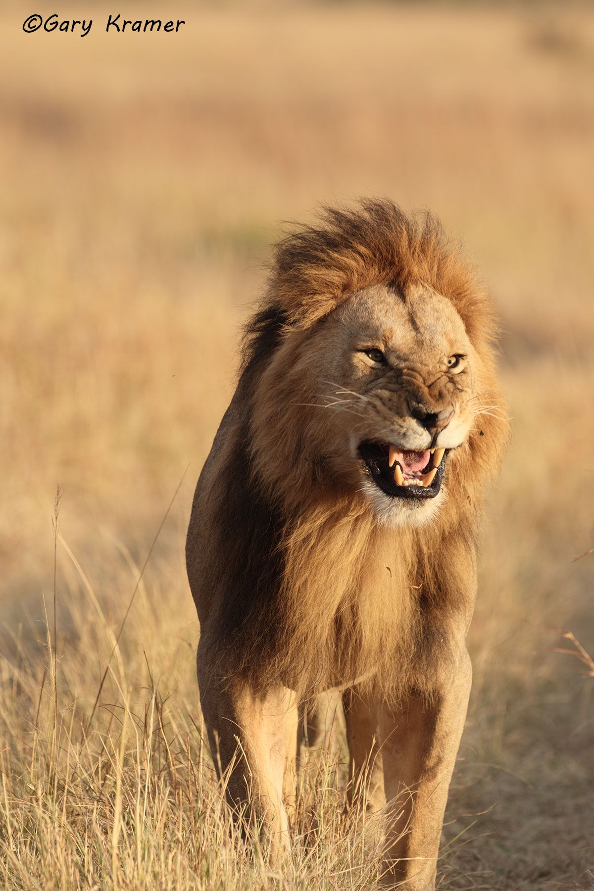 African Lion (Panthera leo) - AMPA#507d