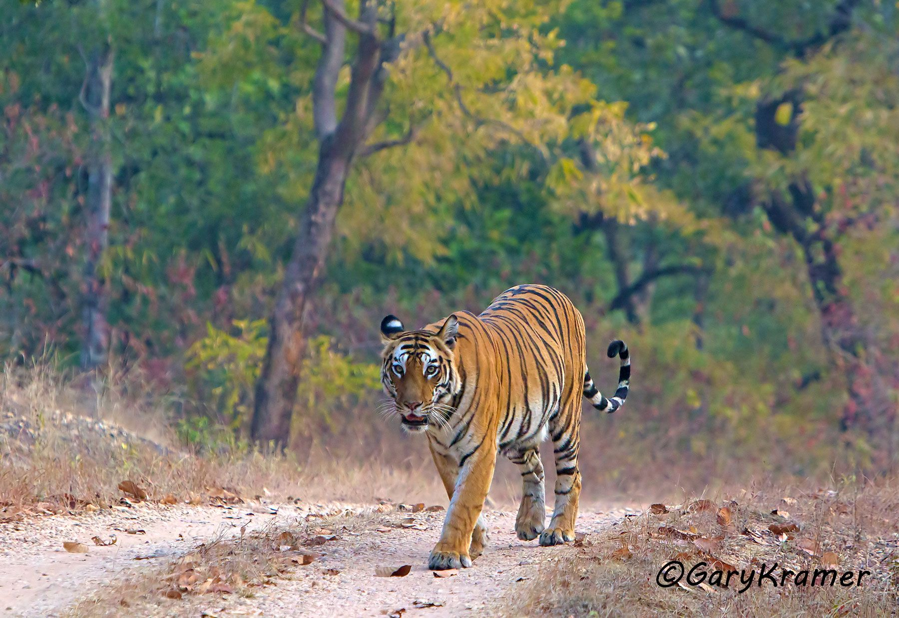 Tiger (Bengal) (Panthera tigrus tigrus) - AMTb#012d