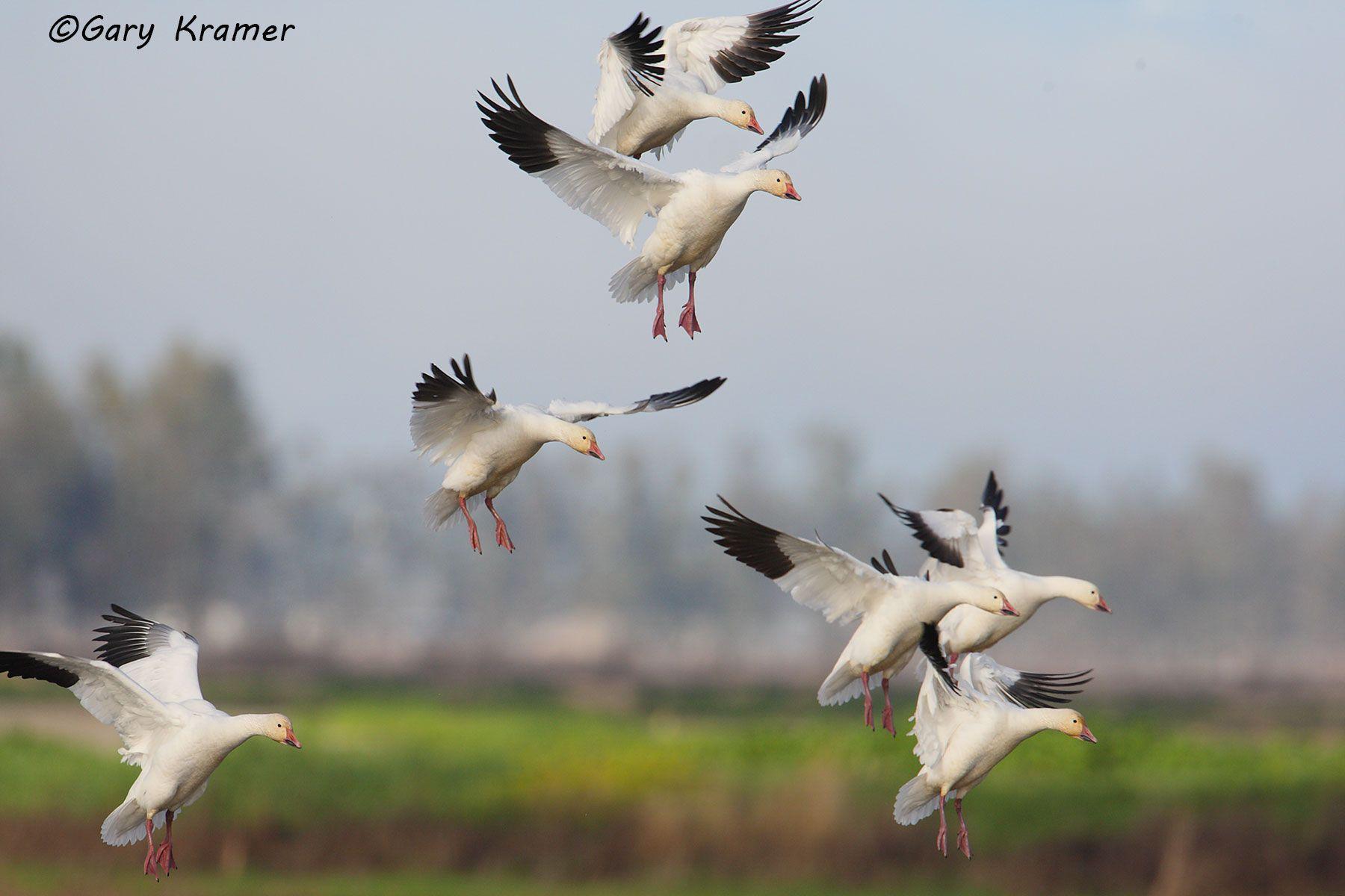 Lesser Snow Goose (Chen caerulescens) - NBWSg#1118d