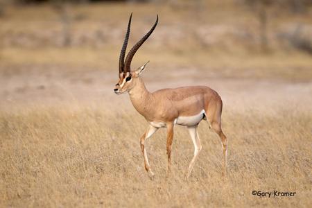 Antelope - Gazelle - Zebra