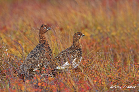 Willow Ptarmigan (summer-fall) (Lagopus lagopus) - NBGPw#264d