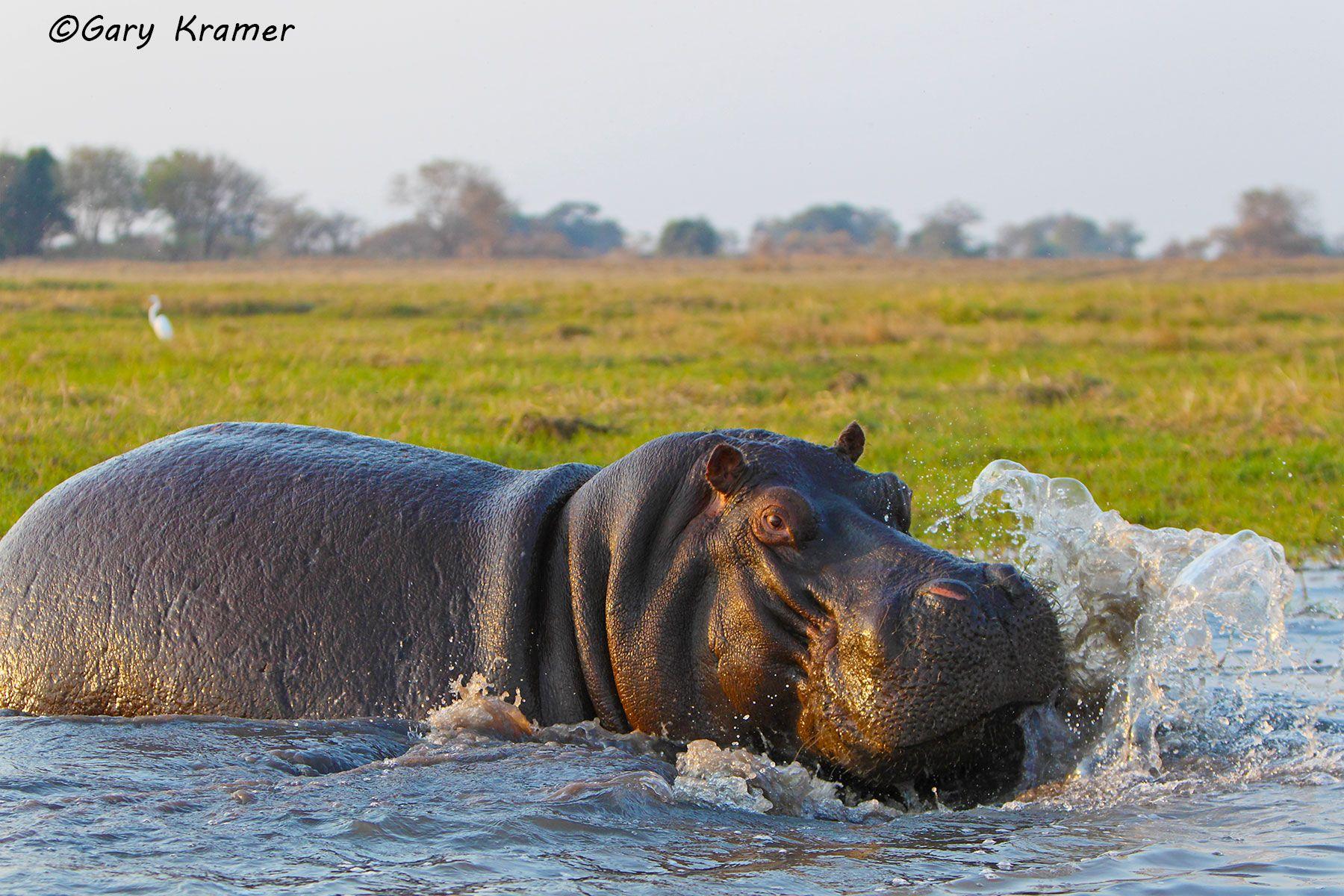 Hippopotamus (Hippopotamus amphibius) - AMH#163d