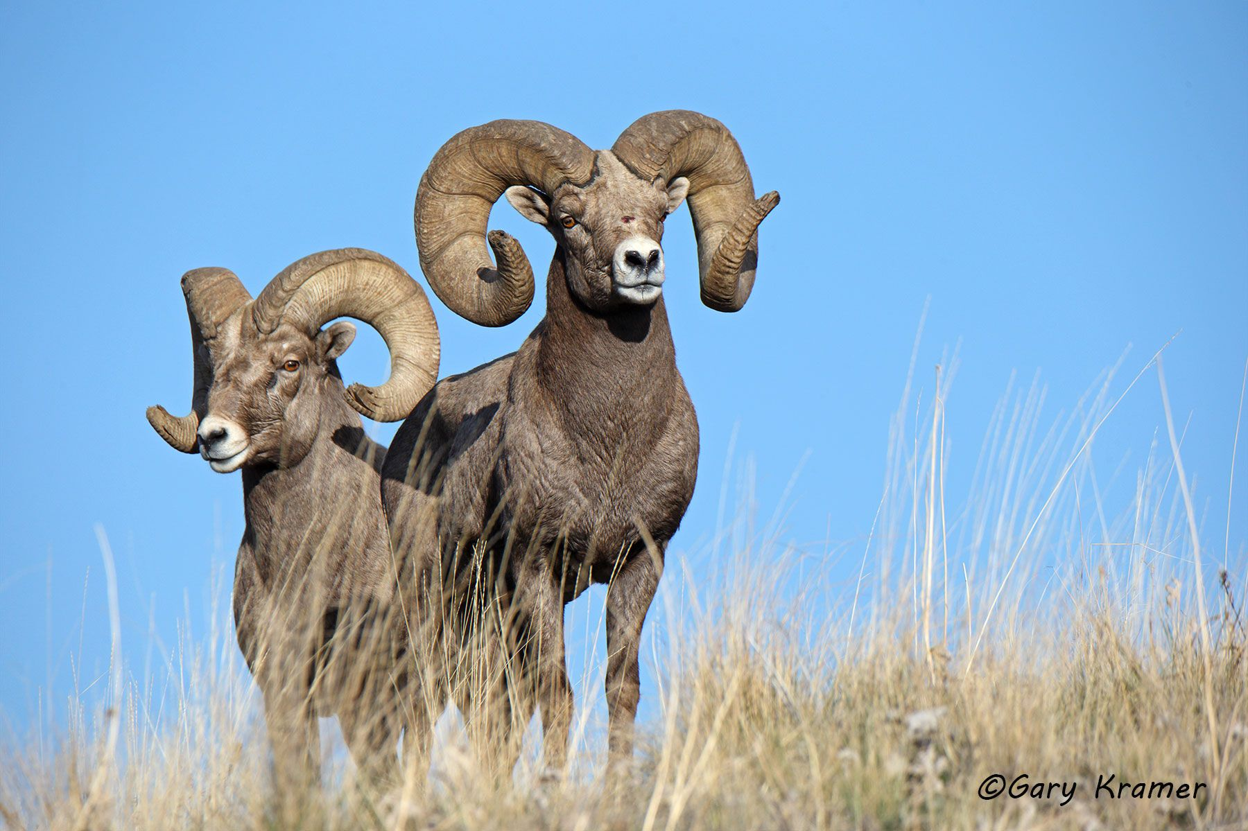 Rocky Mountain Bighorn (Ovis canadensis canadensis) - NMSBr#856d