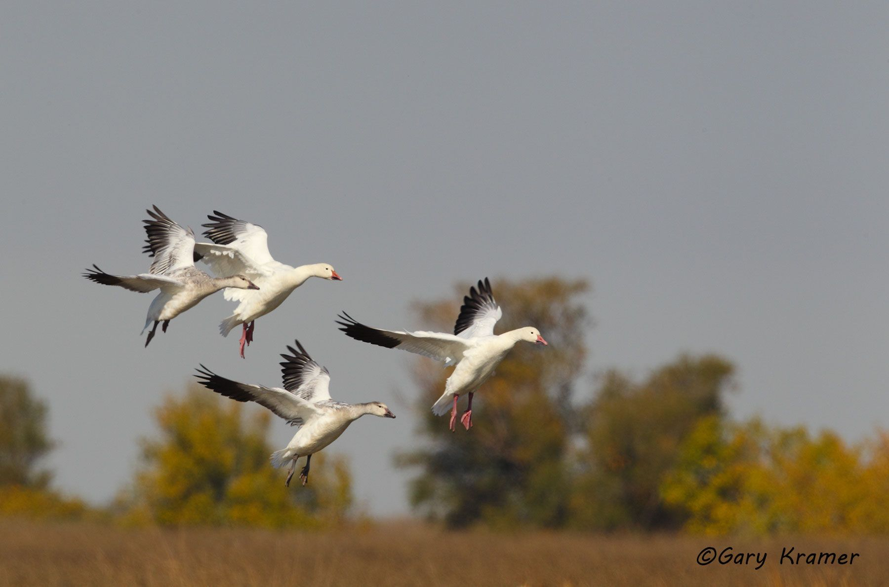 Lesser Snow Goose (Chen caerulescens) - NBWSg#1494d