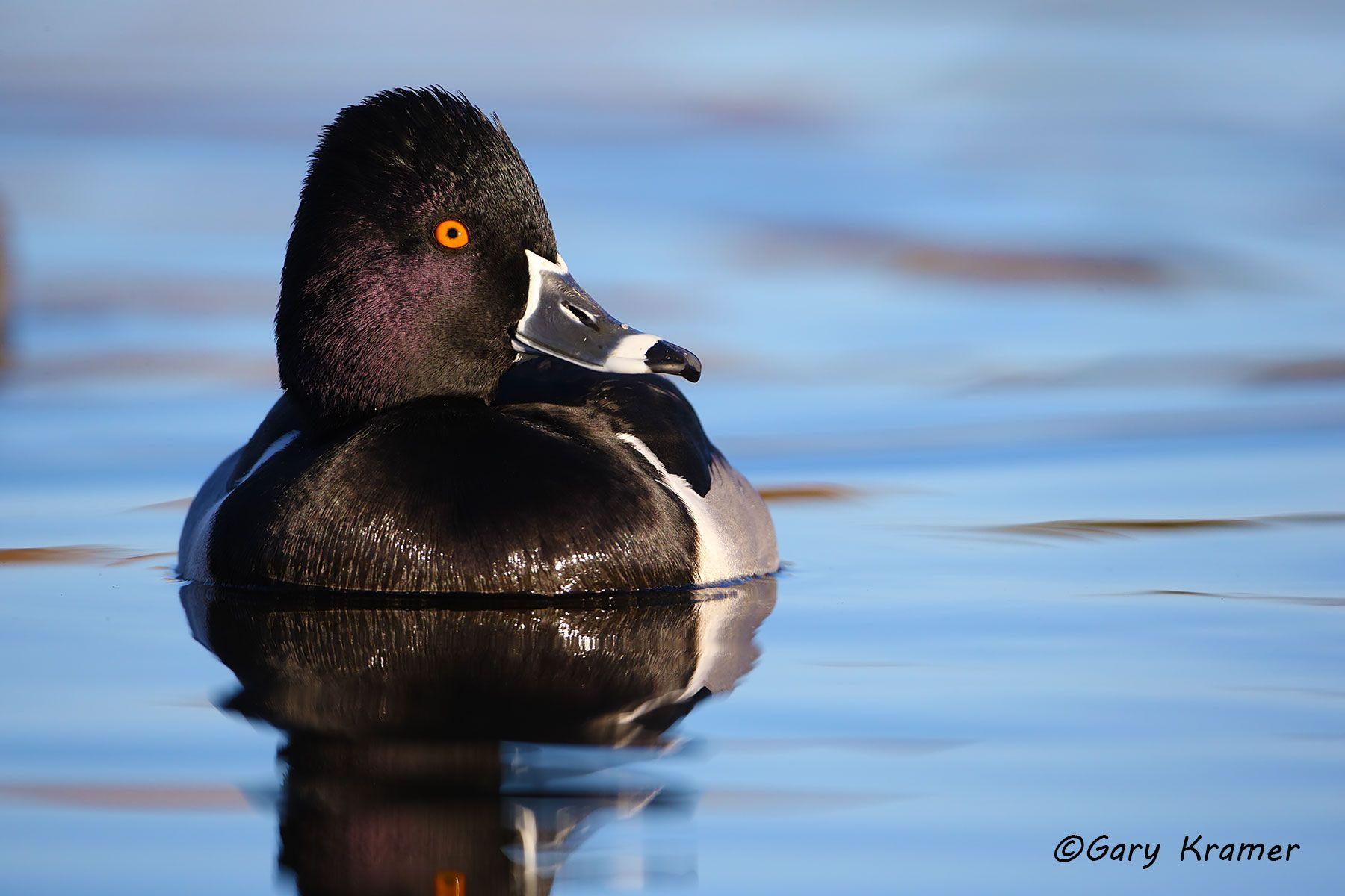 Ring-necked Duck (Aythya collaris) - NBWRn#430d