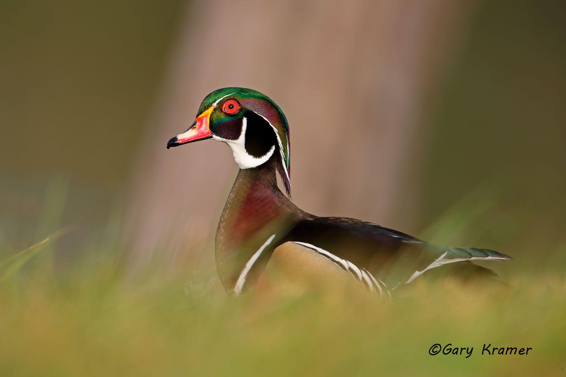 Wood Duck (Aix sponsa) - NBWWd#1165d