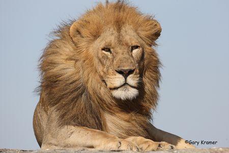 Lion - Leopard - Cheetah