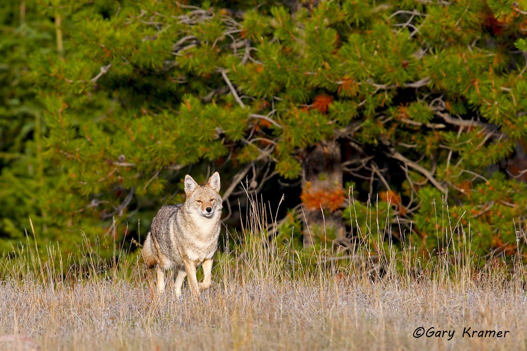 Coyote (Canis latrans) - NMC#1109d