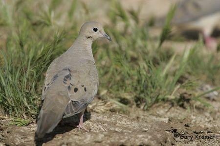 Dove - Pigeon
