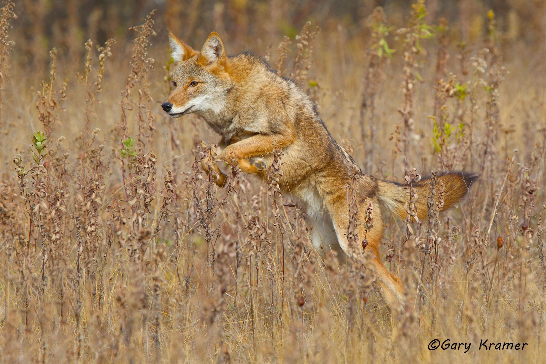 Coyote (Canis latrans) - NMC#634d