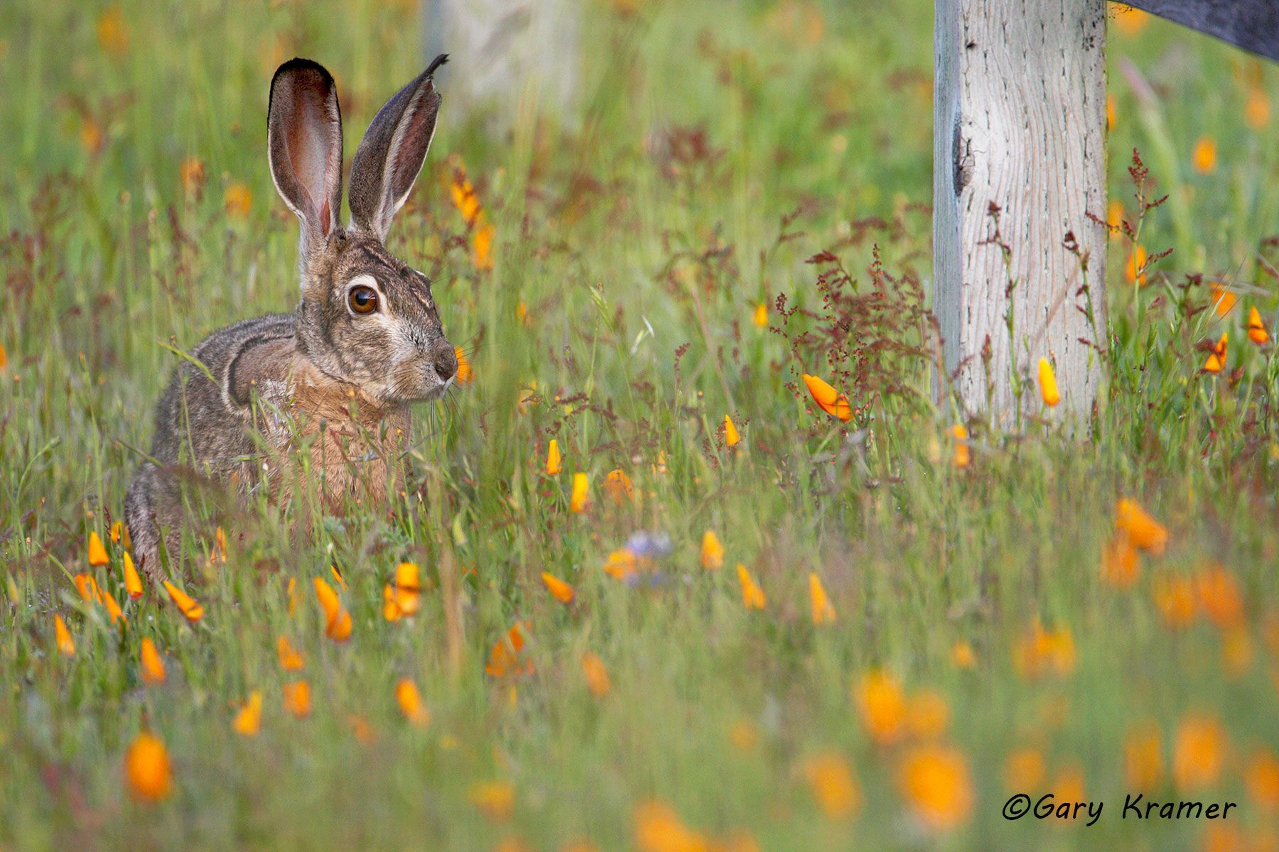 Blacktail Jackrabbit (Lepus californicus) - NMRBt#238d