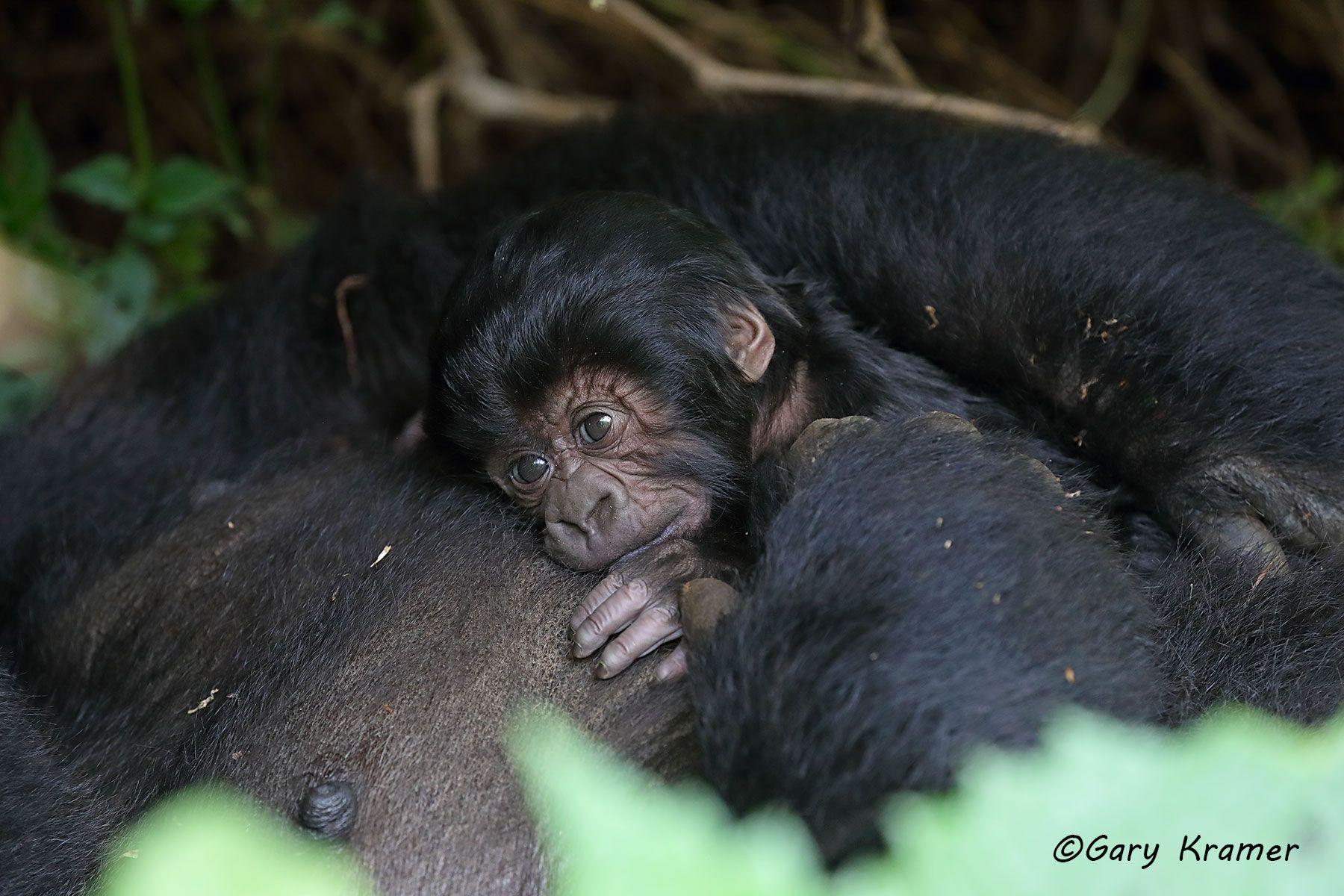 Mountain Gorilla (Gorilla gorilla beringei) - AMGg#340d
