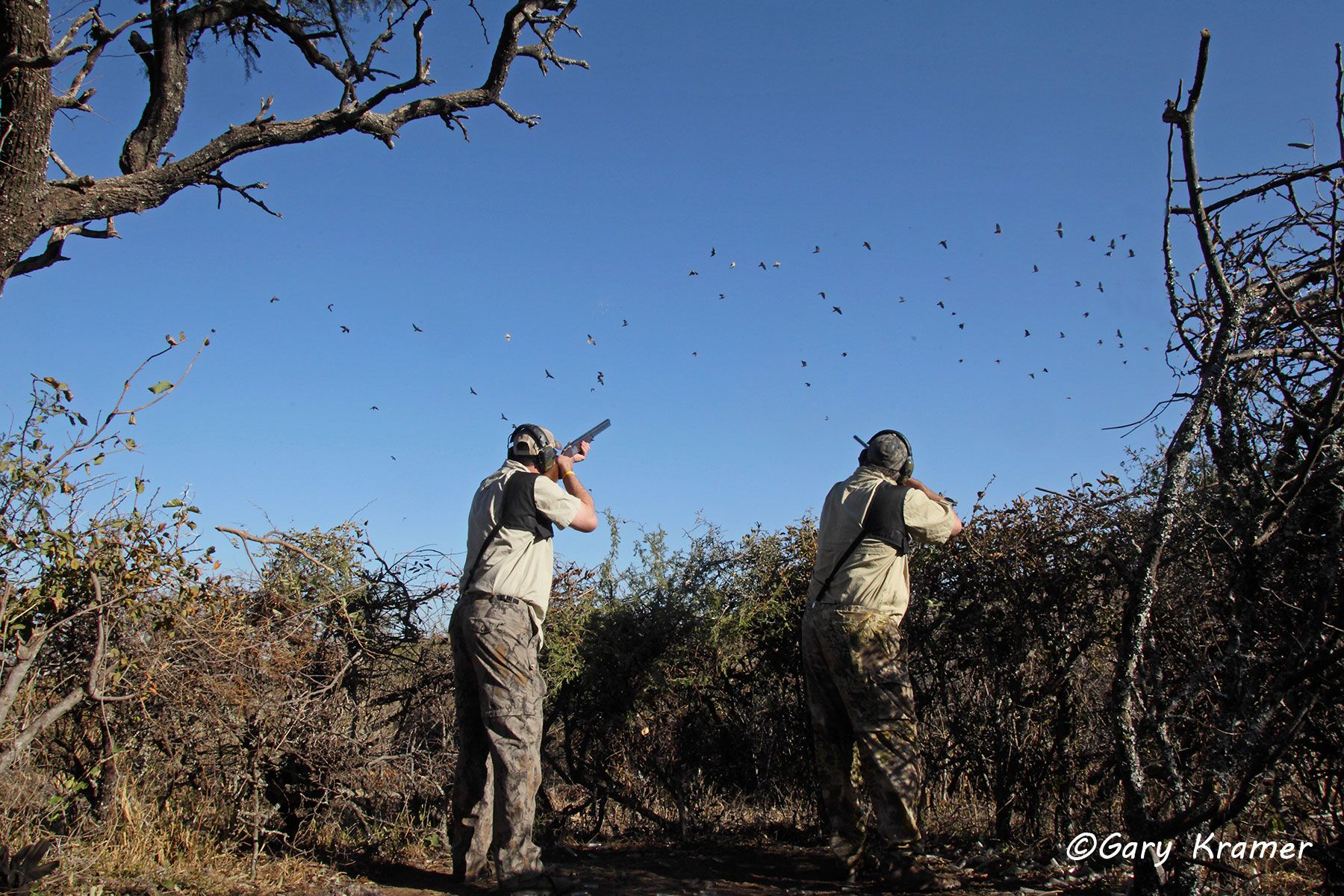 Hunter(s) shooting at Eared Dove, Argentina - SHds#899d