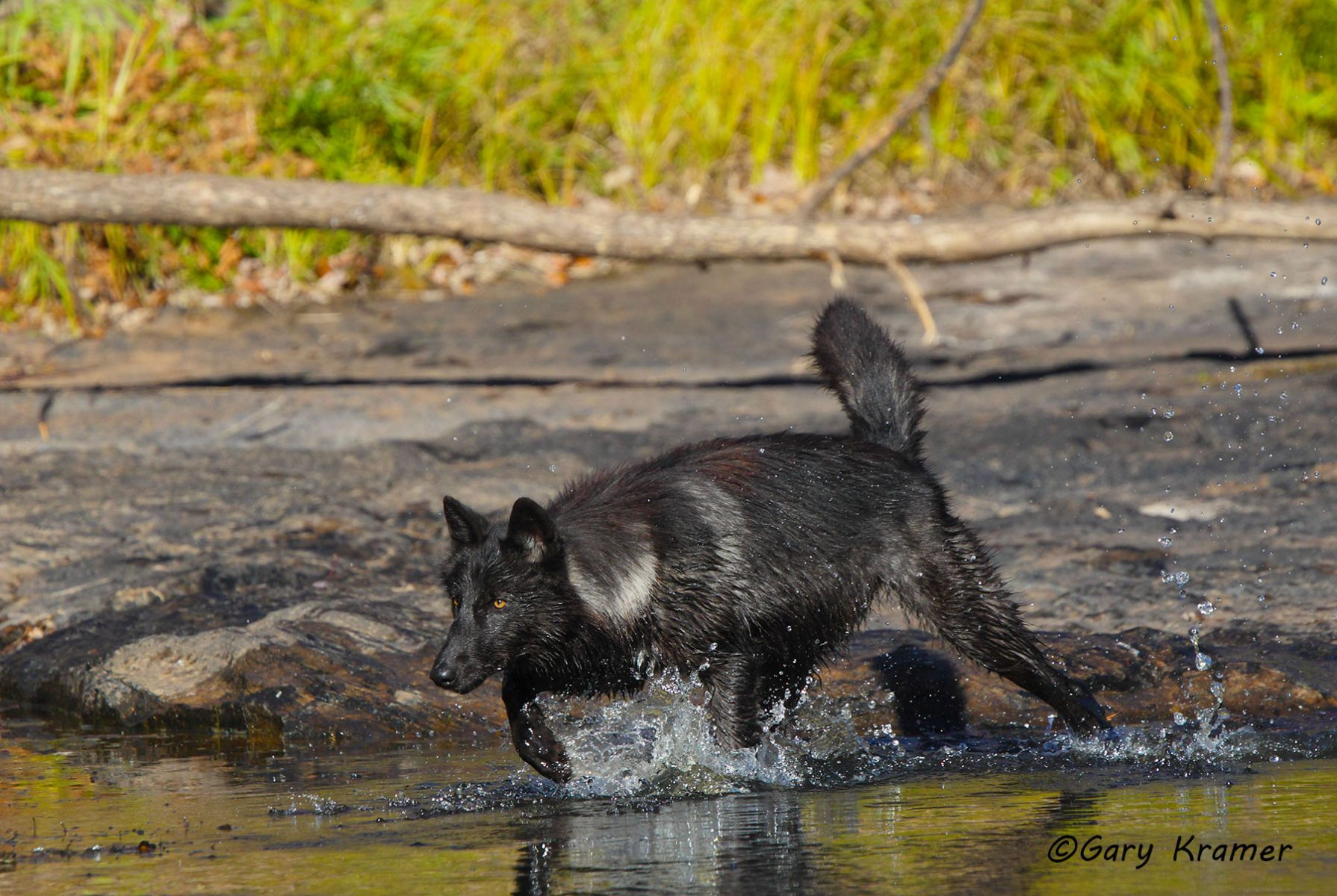 Gray Wolf (Canis lupus) - NMWg#1757d