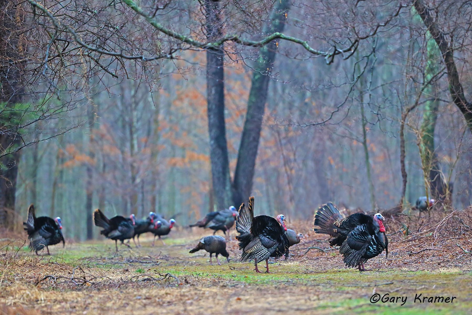 Wild Turkey (Eastern) (Meleagris gallopavo silvestris) - NBGTe#352d